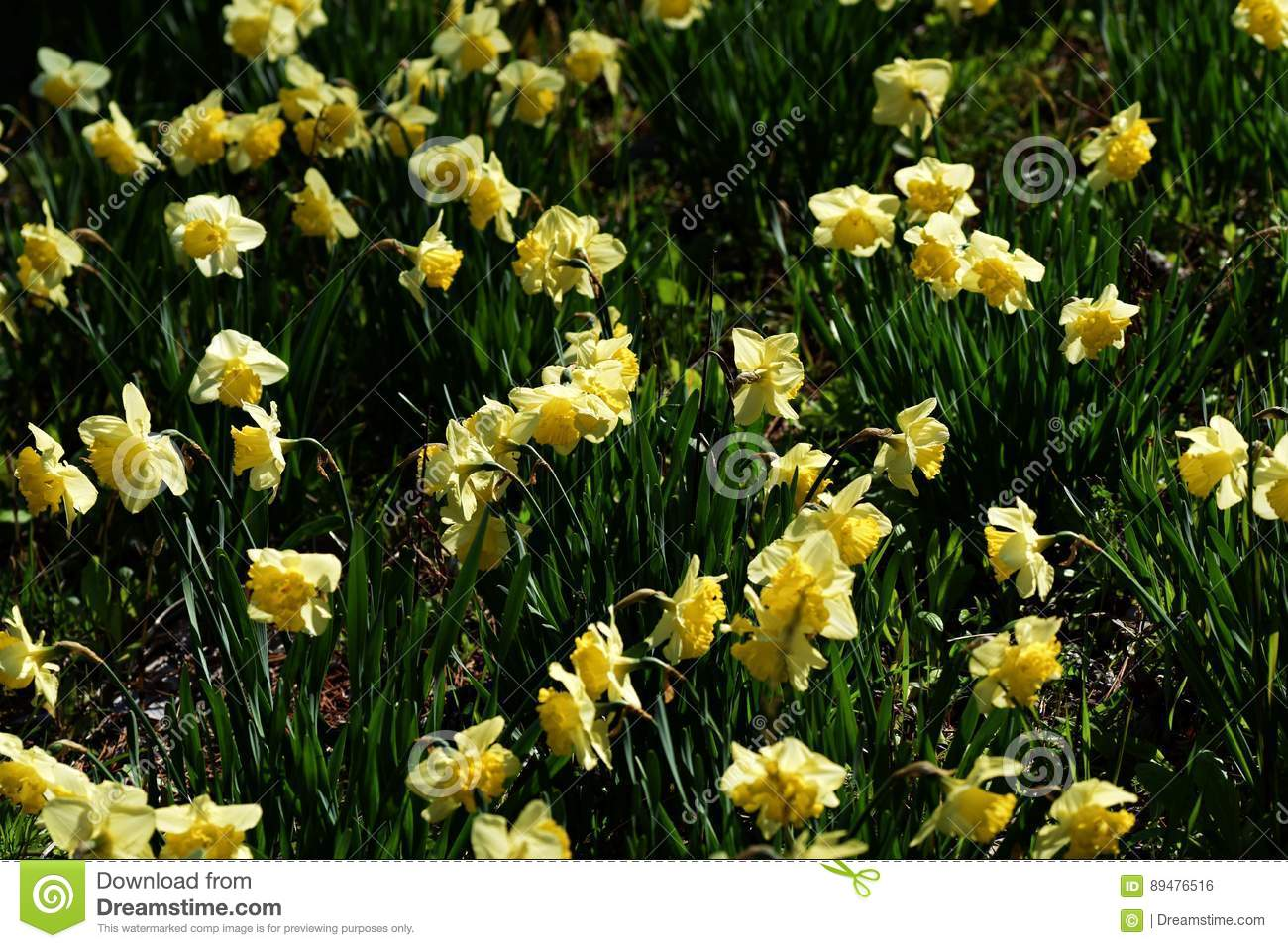 Narcissus stock photo image of yellow perennial poisonous 89476516 narcissus is a perennial plant and white and yellow flowers bloom from winter to spring it comes from the narciss of a young boy appearing in greek myth mightylinksfo