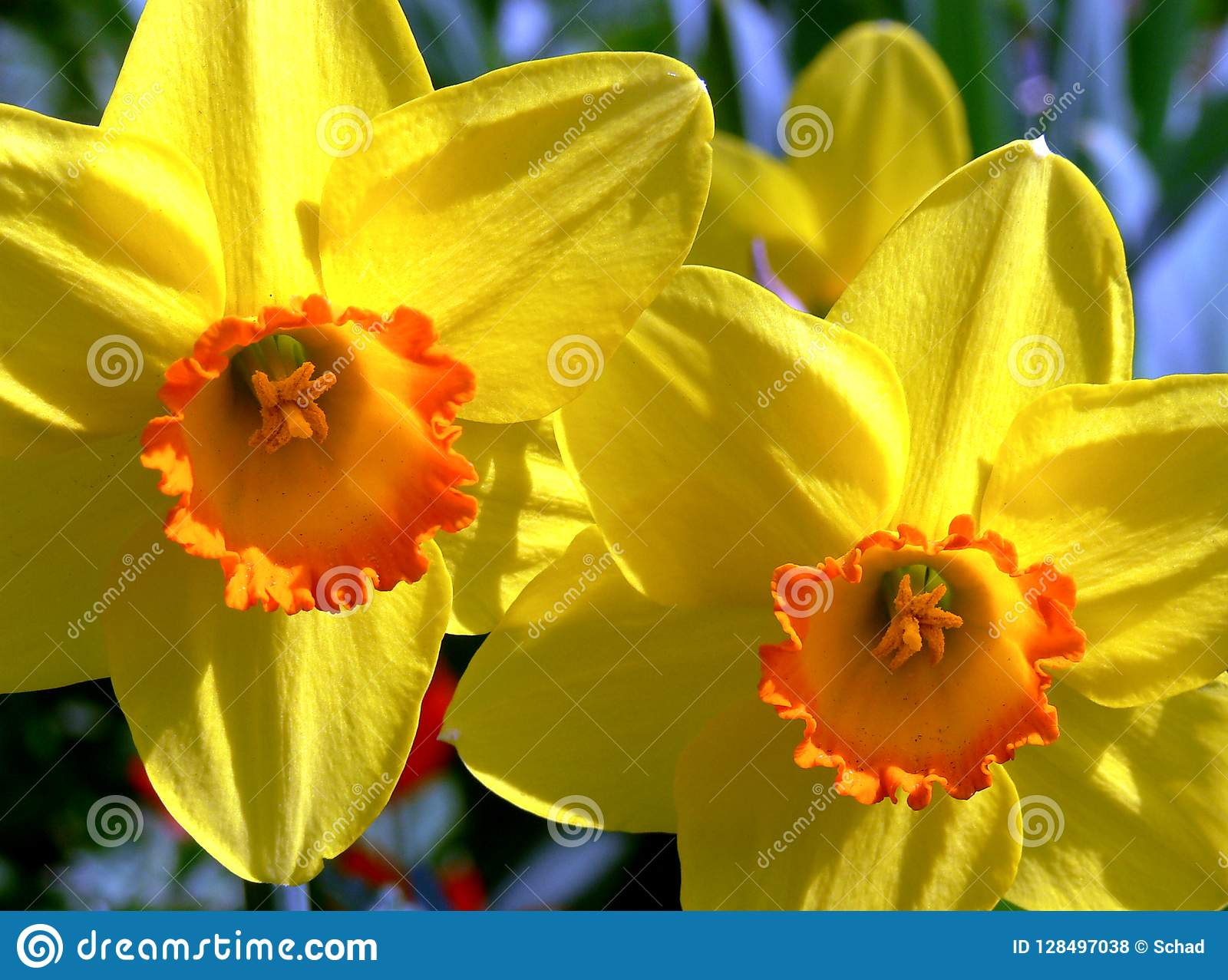 Yellow Blooming Easter Bells In Full Sun Stock Photo Image Of