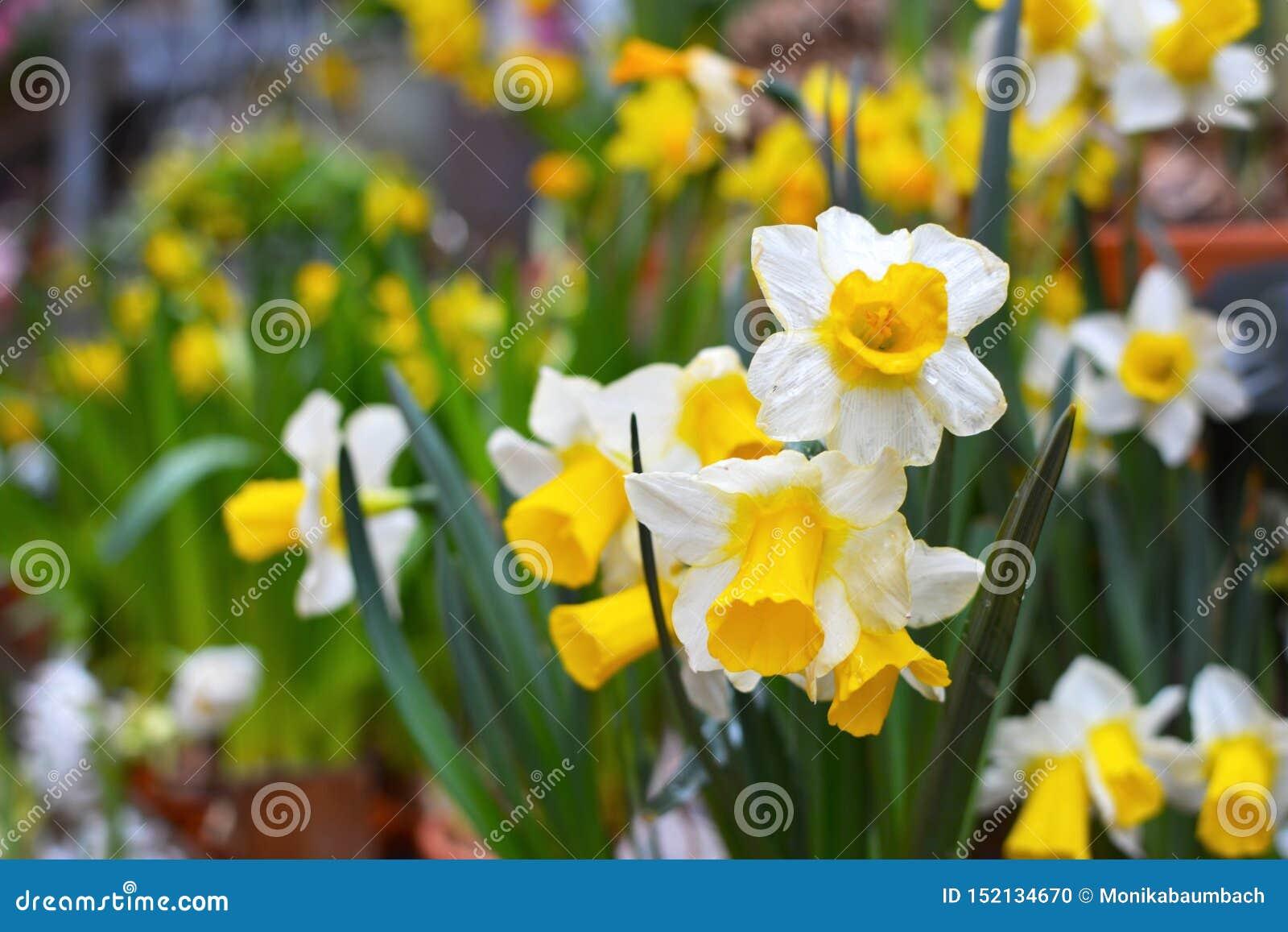Narcissus Tazetta-Frühlingsblumen mit den weißen Blumenblättern und gelber Trompete auf undeutlichem Hintergrund mit anderen Blum