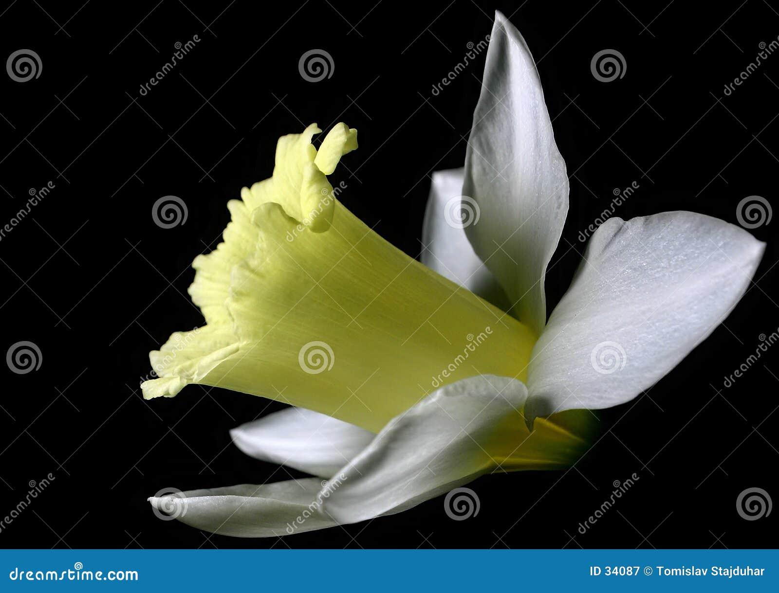 Download Narcissus white obraz stock. Obraz złożonej z naturalny - 34087