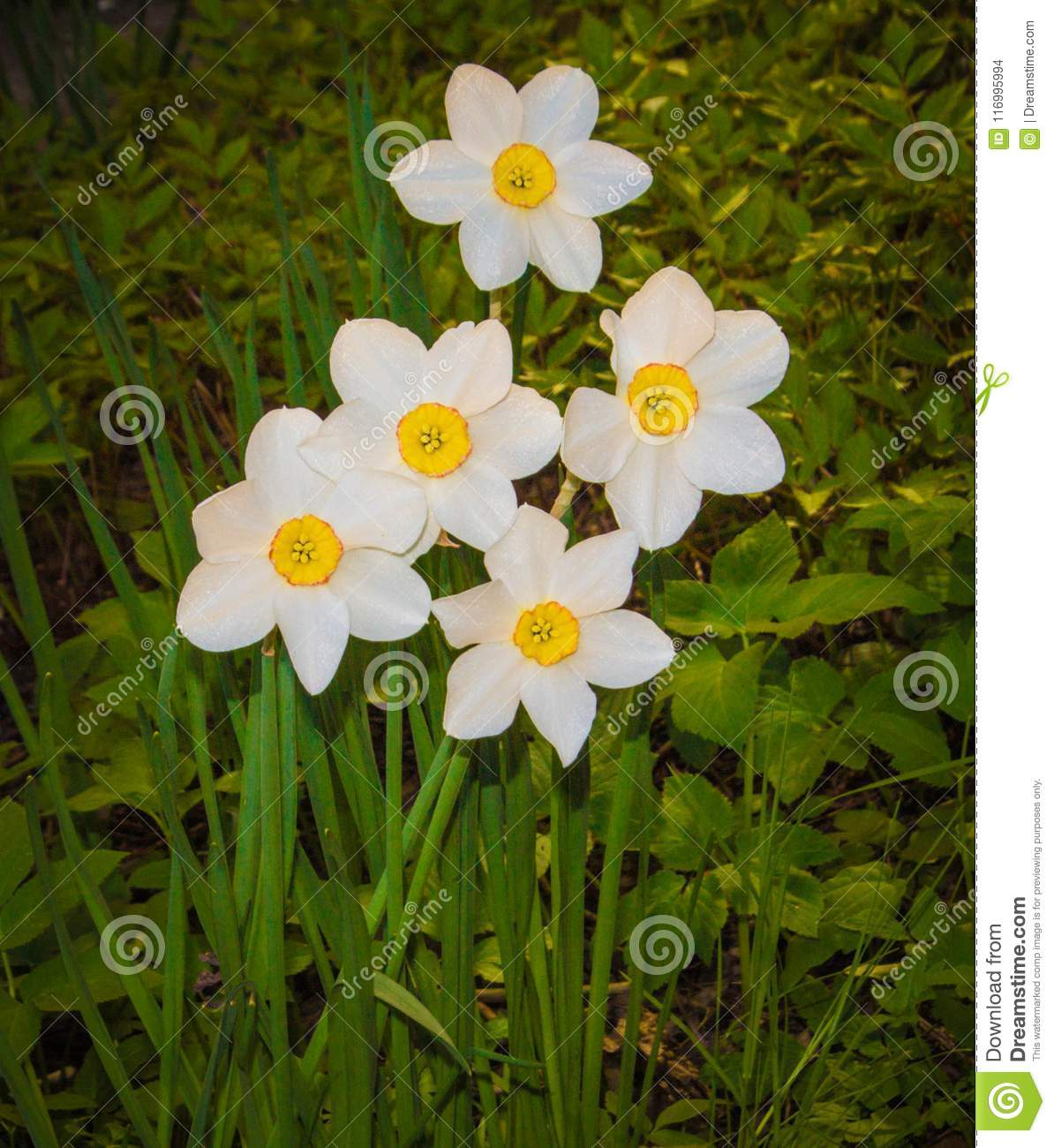 Narcissus white flowers with yellow middle on green foliage stock narcissus white flowers with yellow middle on green foliage mightylinksfo