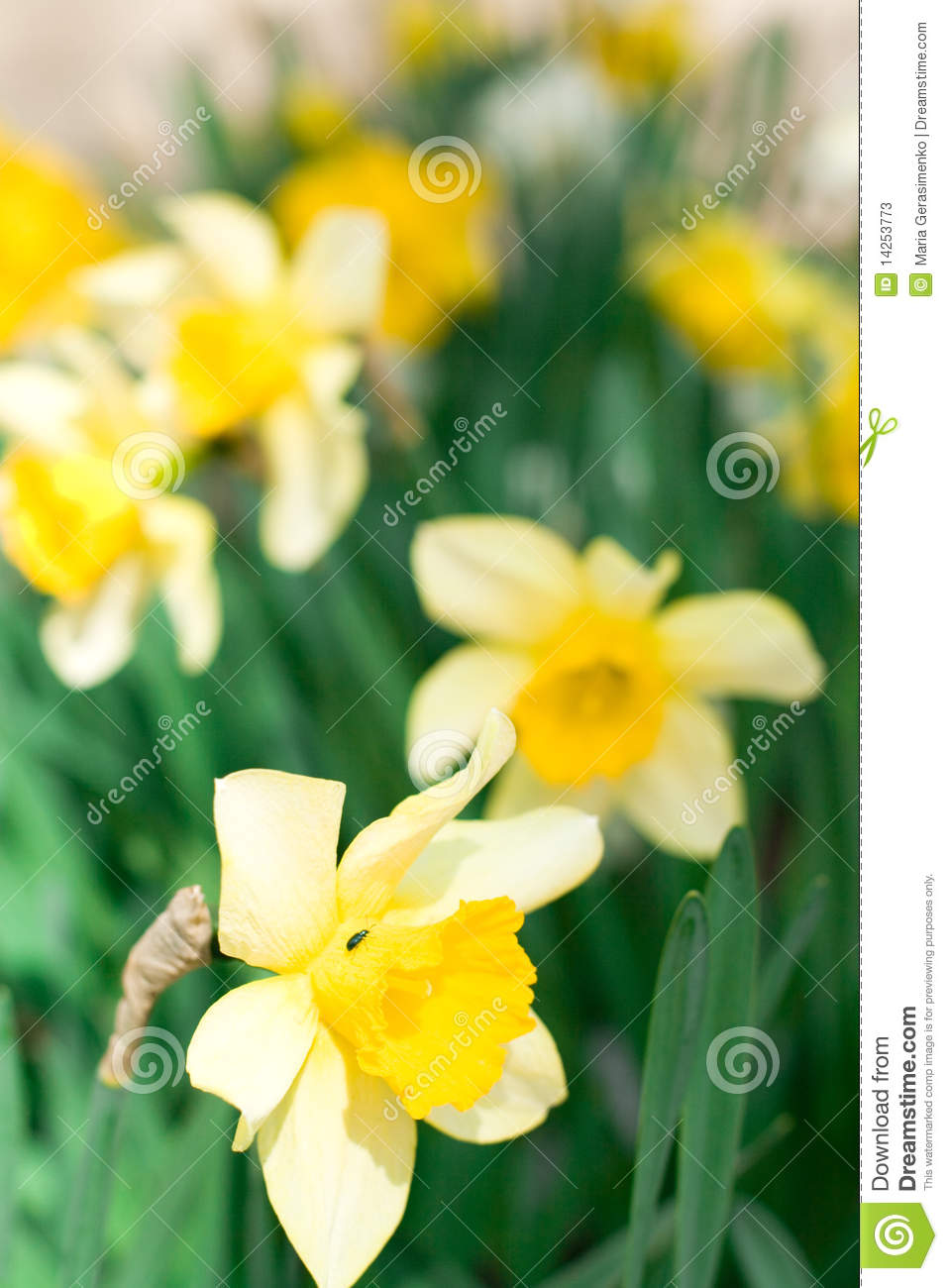 Narcissuses κίτρινος