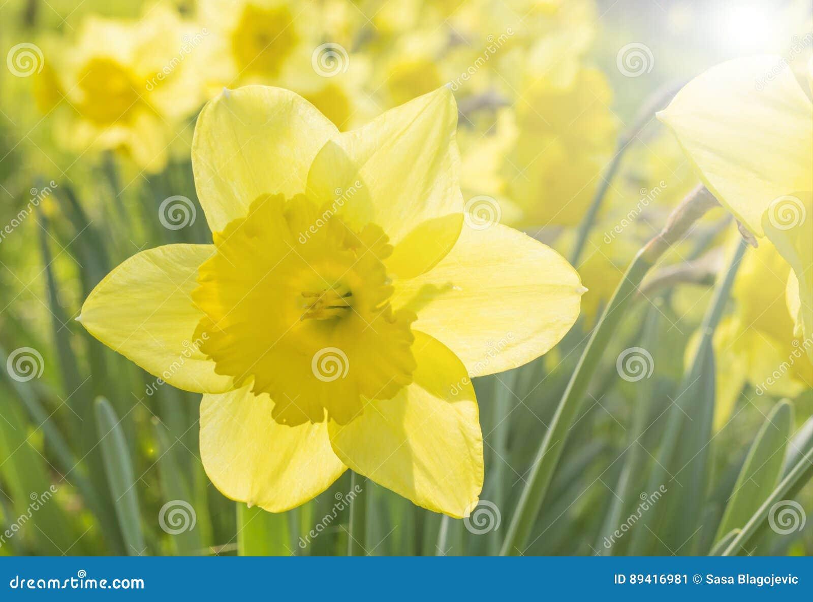 Narcisuss agradáveis das flores