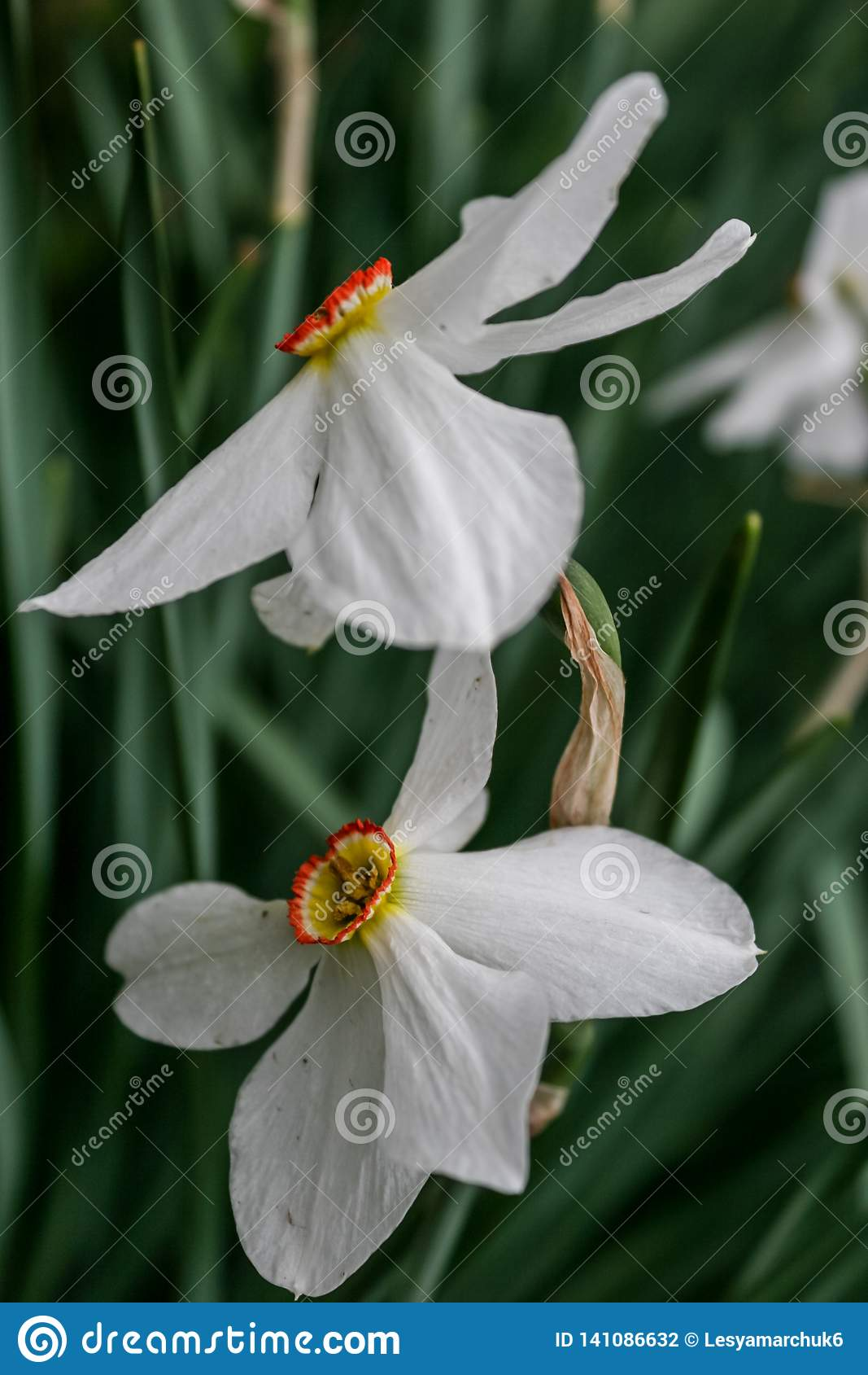 Narcyz grupa na ogródzie, daffodil kwiat w wiosna czasie