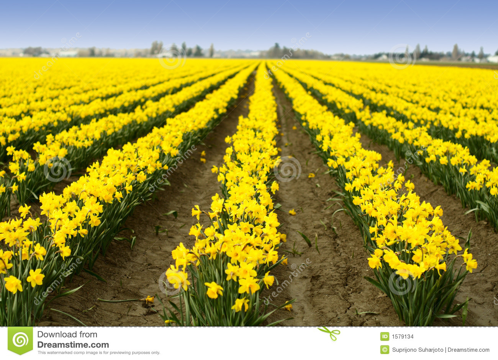 Narcyzy żółte