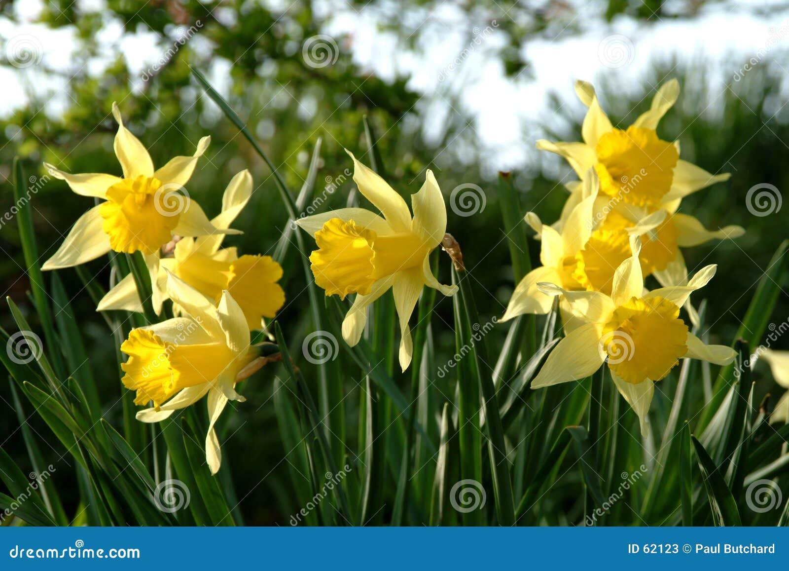 Narcyzy Scotland wiosna