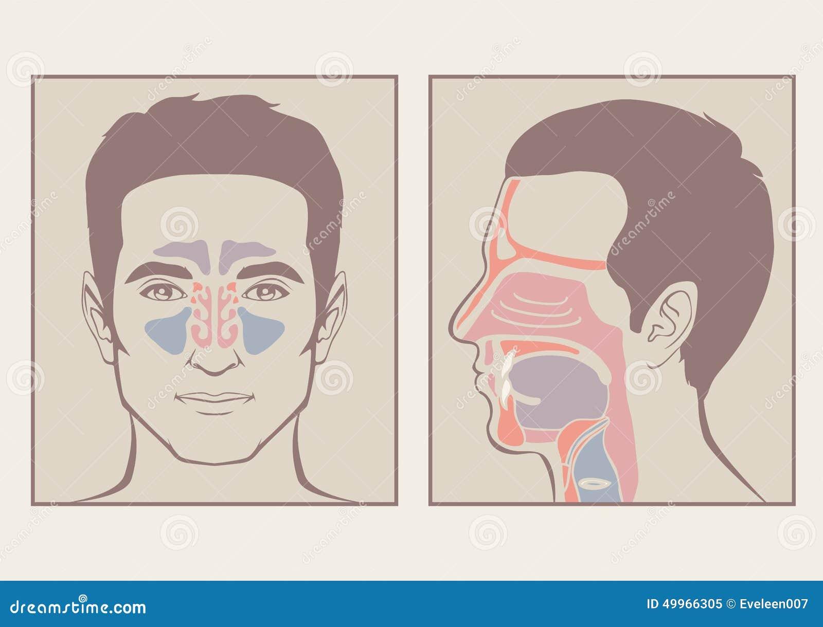 Nariz, Anatomía De La Garganta Ilustración del Vector - Ilustración ...