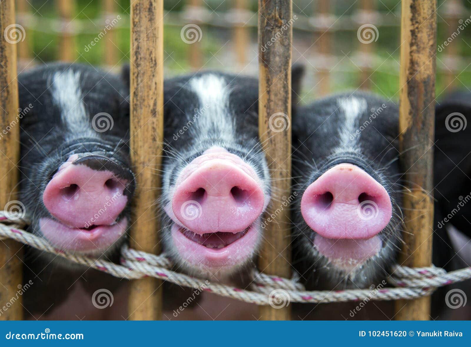 Nariz do porco preto e branco do bebê