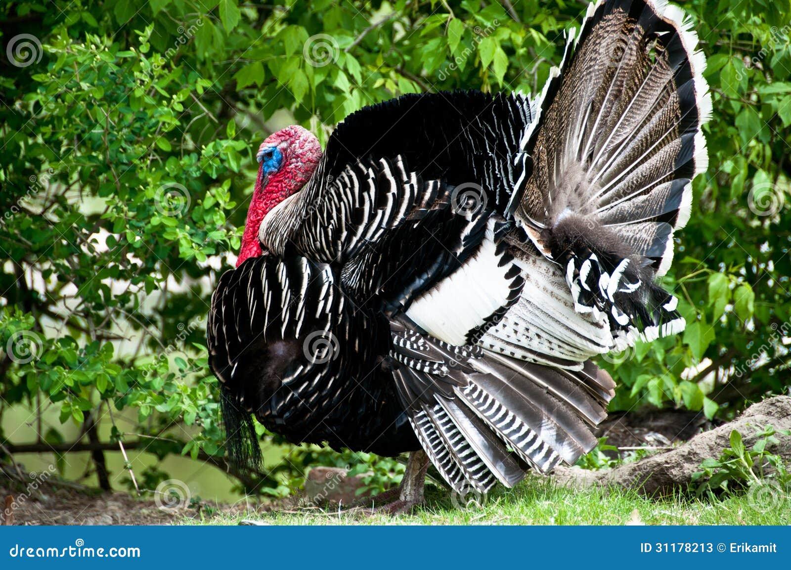 Narragansett turkey in full strut