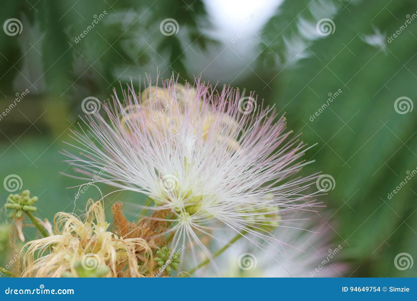 Narrow Dof Silk Tree Flower Stock Photo Image Of Flower Silk