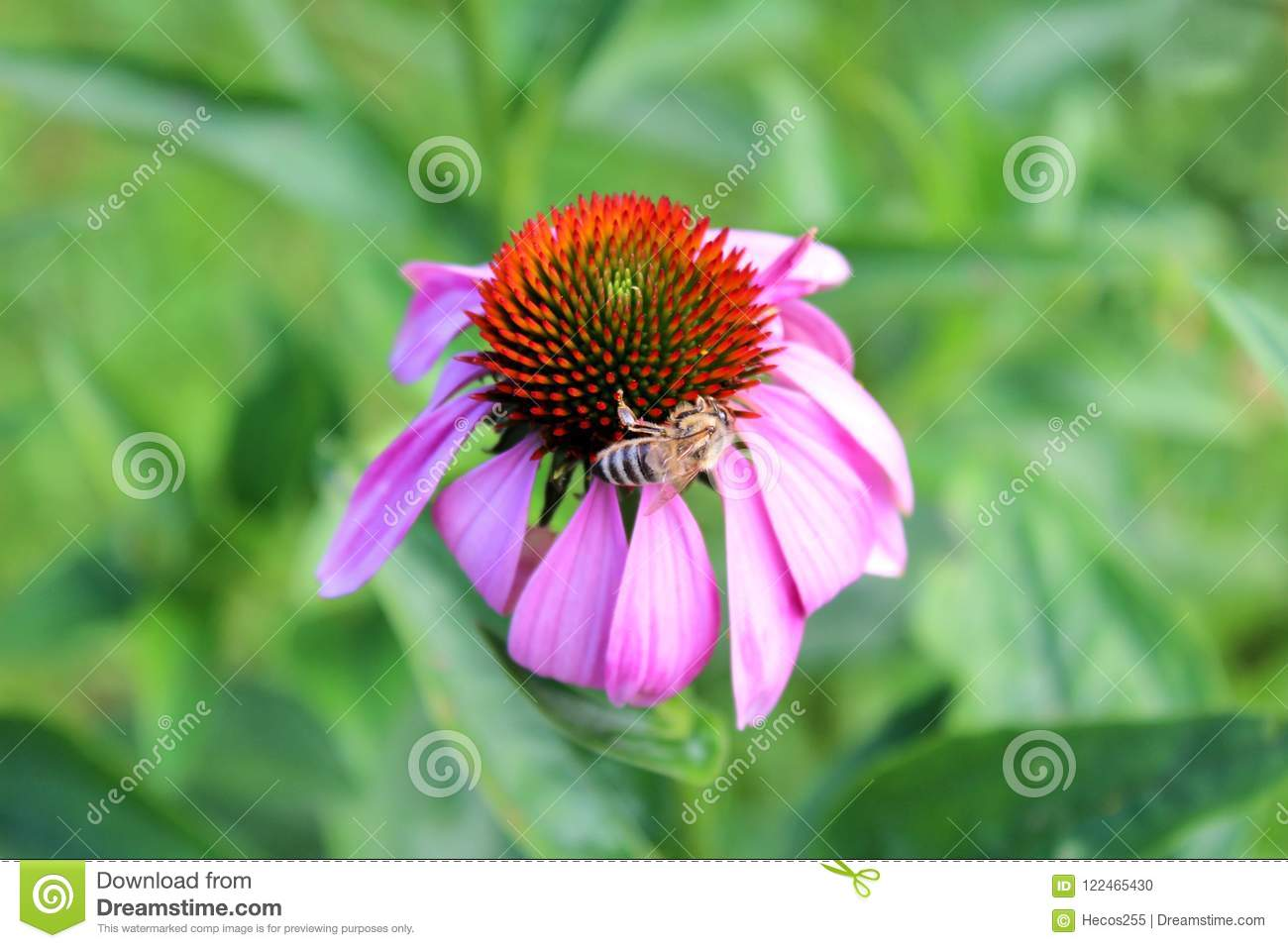 Narrow Leaved Purple Coneflower Or Echinacea Angustifolia Bright