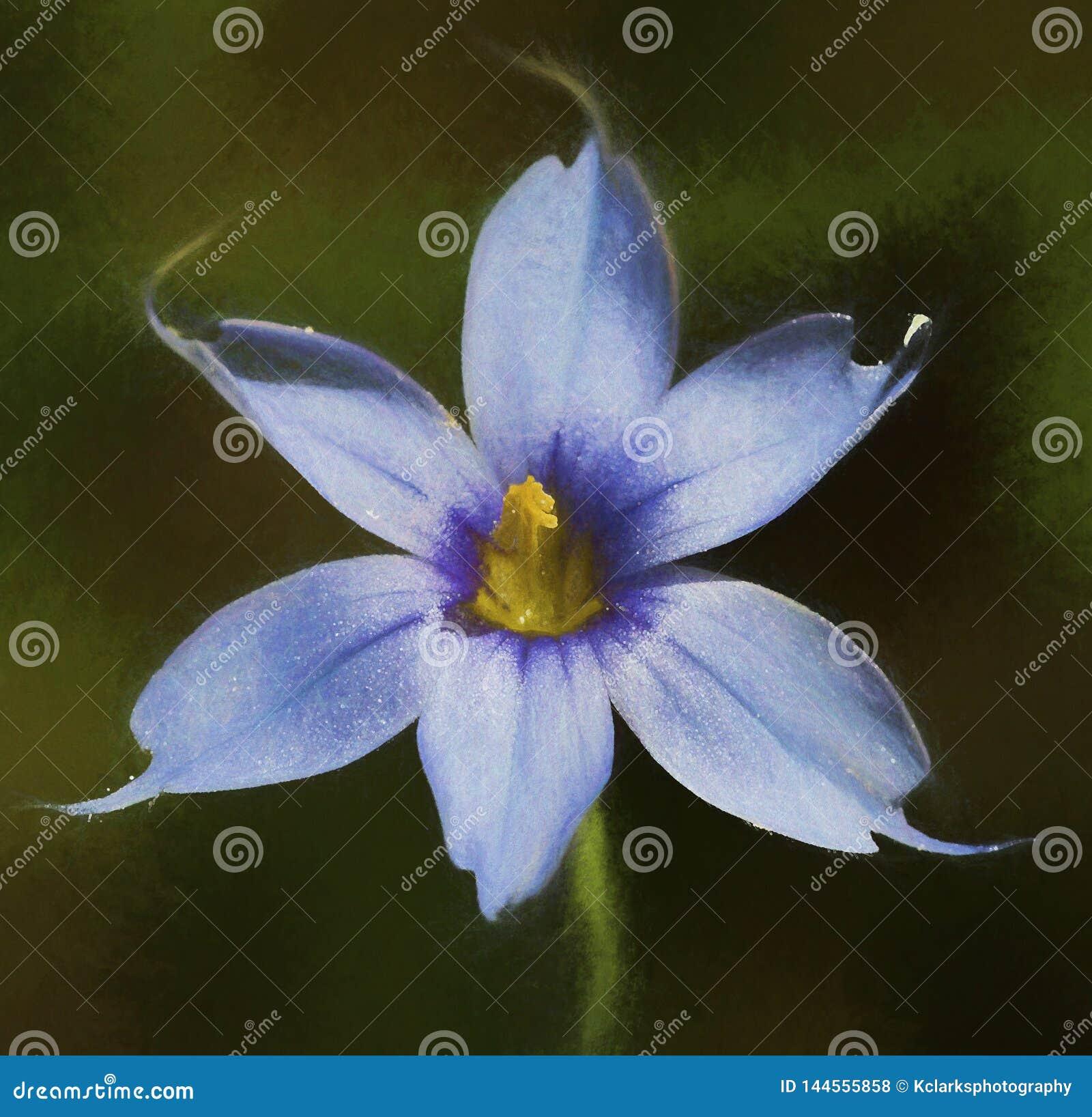 Narrowleaf blåögt gräs - Sisyrinchiumangustifolium