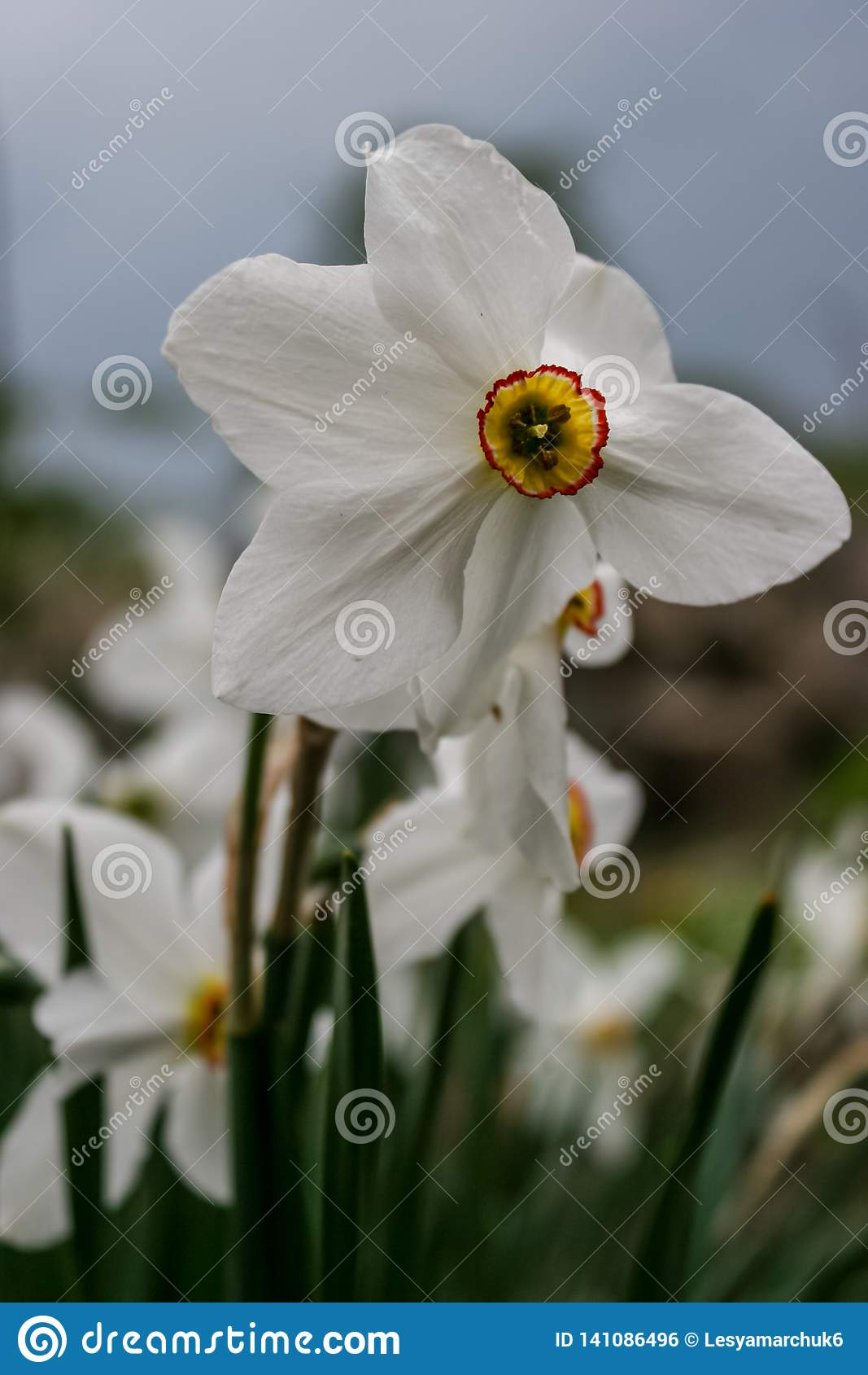 Narzissengruppe auf Garten, Zeit der Narzissenblüte im Frühjahr