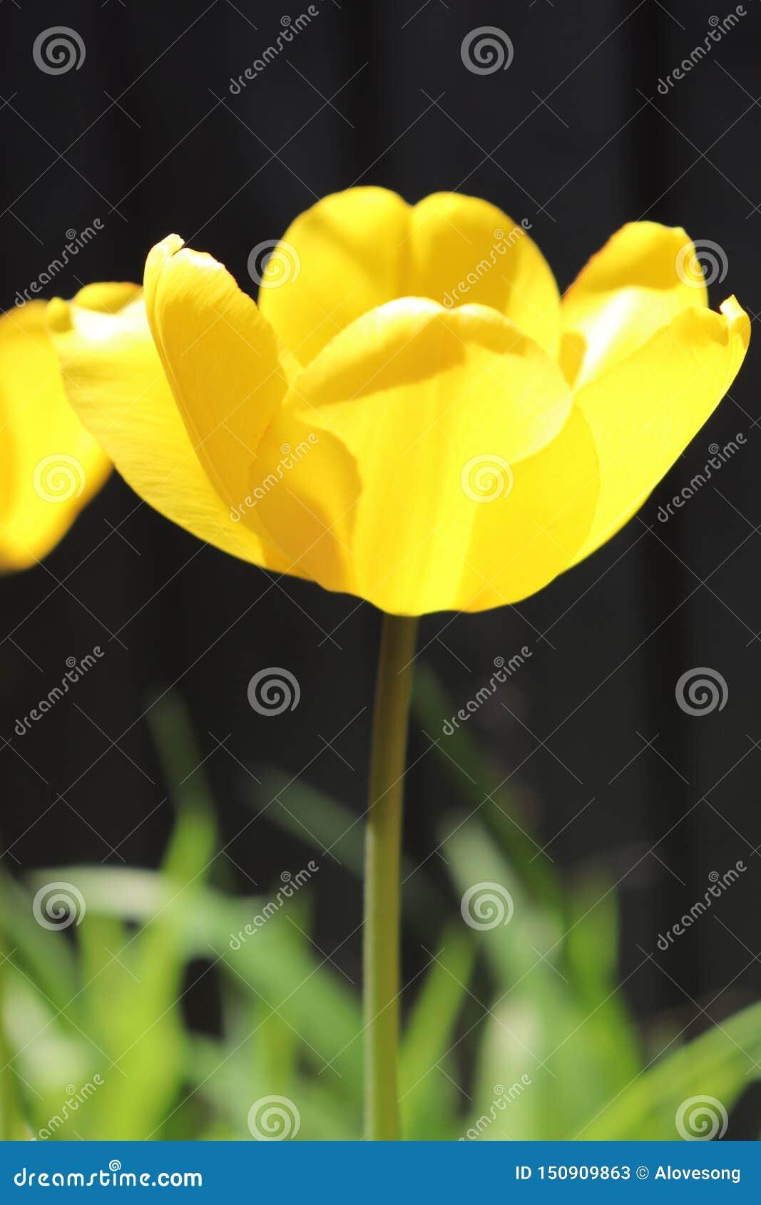 Nasłoneczniony Jaskrawy Żółty Colour tulipan