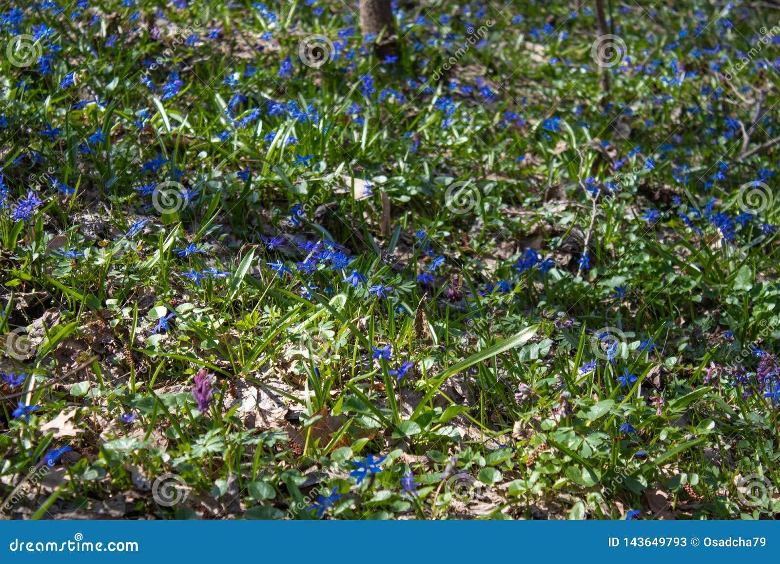 Nas?oneczniony lasowy pe?ny ?nie?yczka kwitnie w wiosna sezonie - fotografia z niezwykle zamazanym t?em