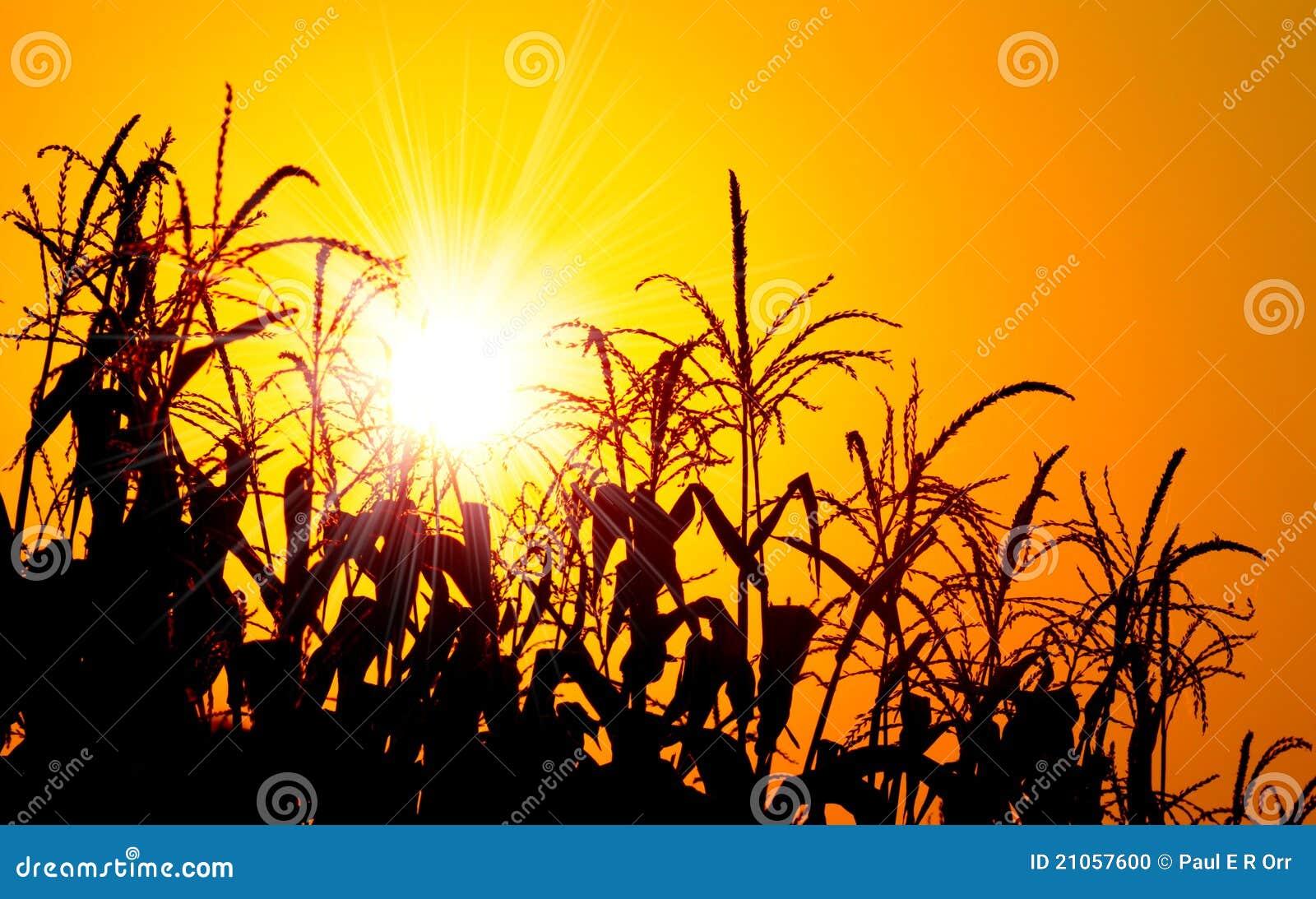 Nascer do sol alaranjado brilhante sobre um campo de milho