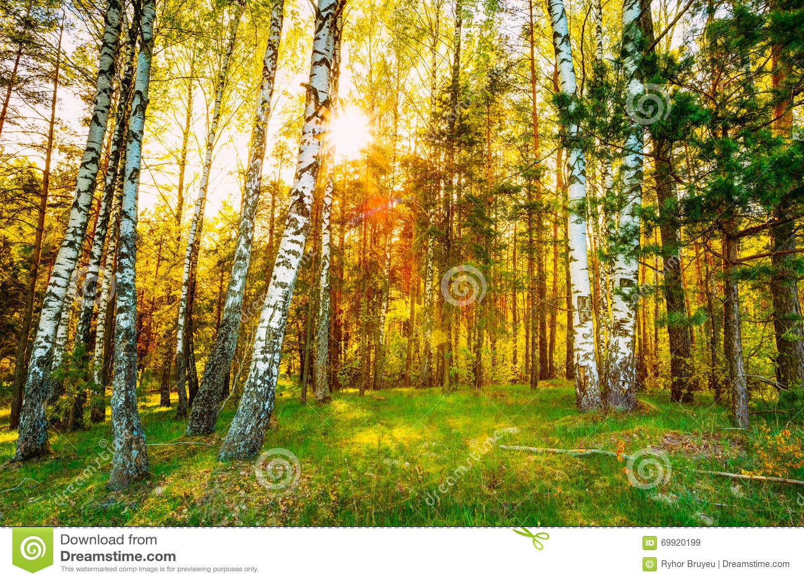 Nascer do sol do por do sol da luz do sol no vidoeiro bonito Forest In Summer Seas