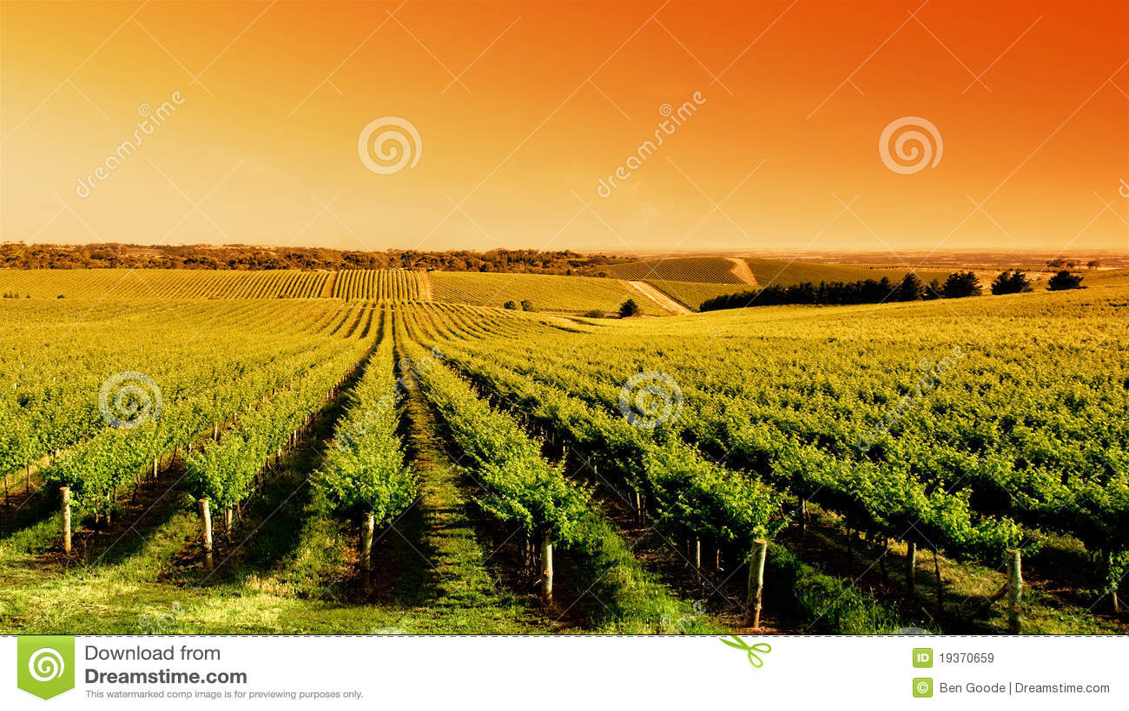 Nascer do sol do vinhedo