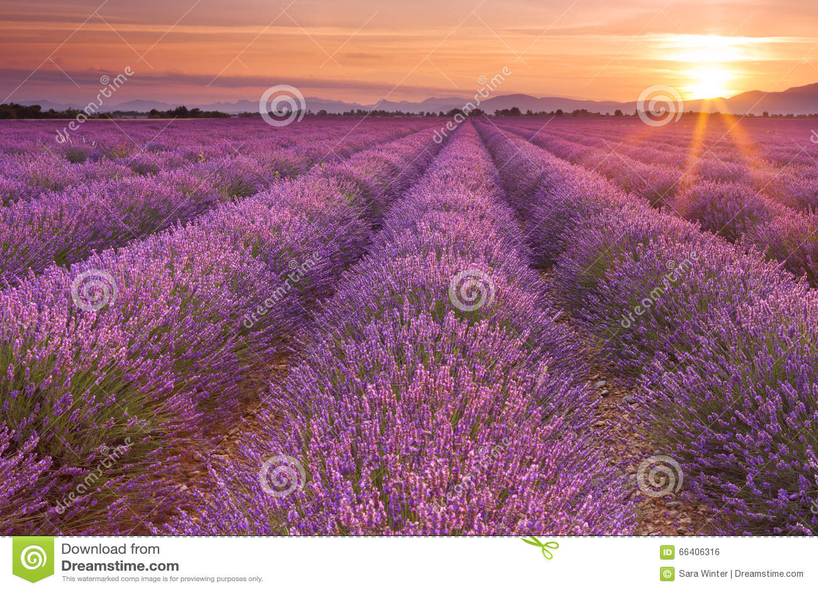 Nascer do sol sobre campos da alfazema no Provence, França