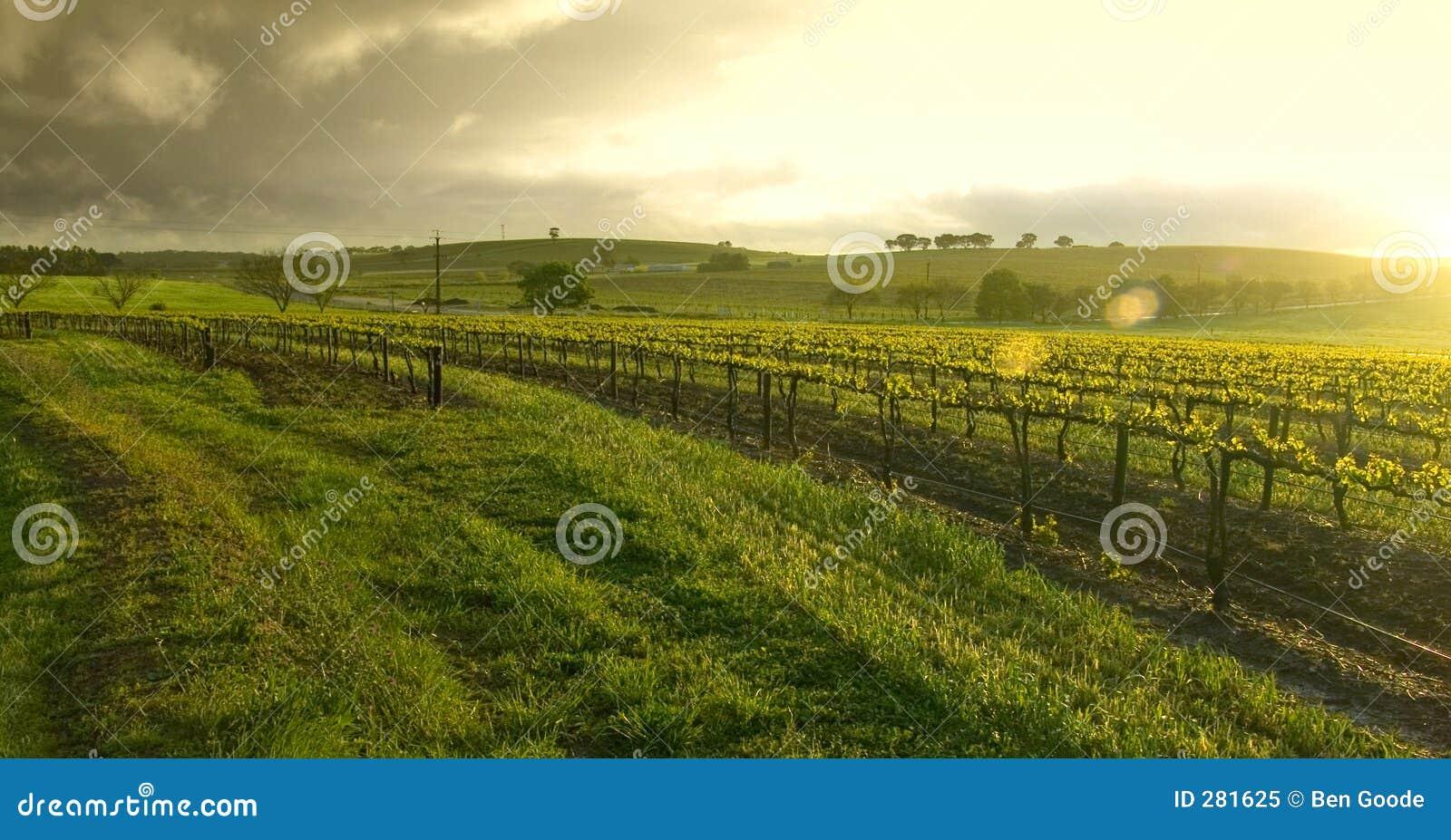 Nascer do sol sobre o vinhedo