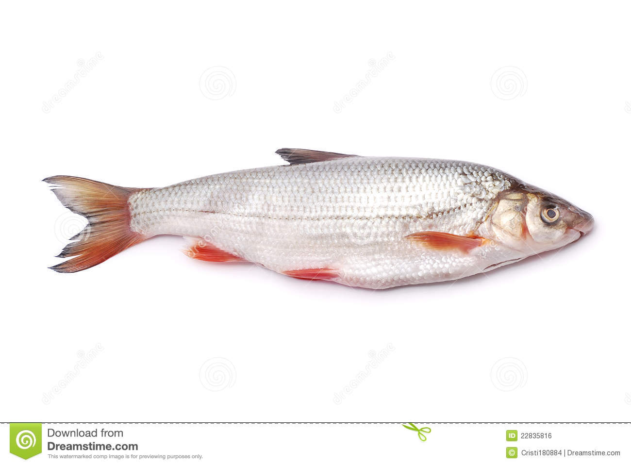 Nase fish stock photo image of white mouth food for Healthiest white fish