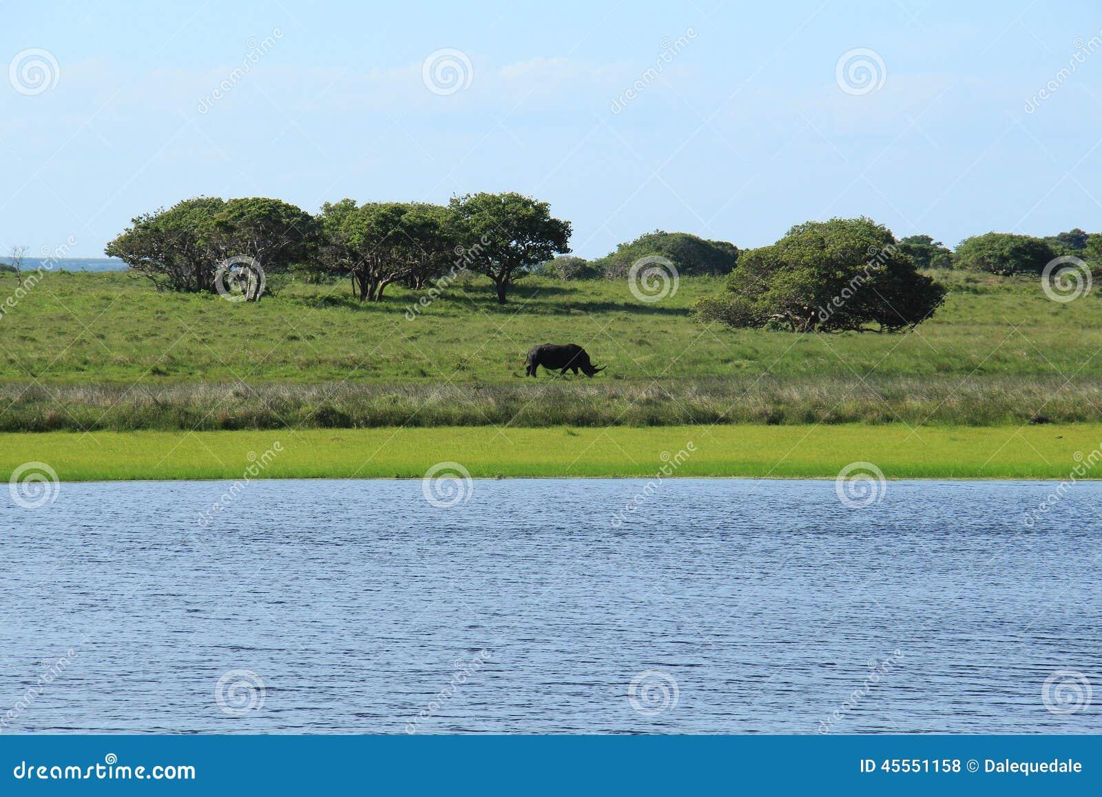 Nashorn, das in die Savanne geht