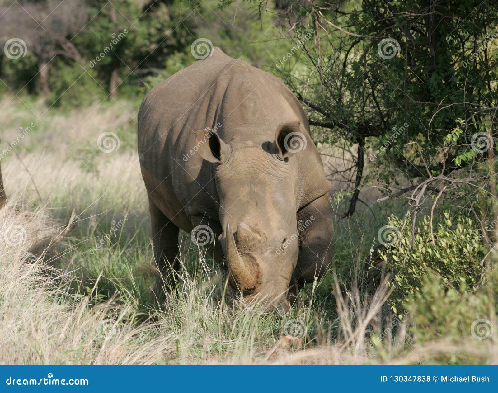 Nashorn, das in Südafrika weiden lässt