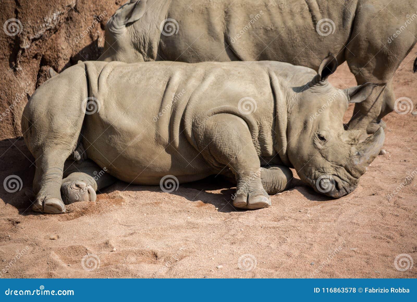 Nashorn legt sich im Staub hin