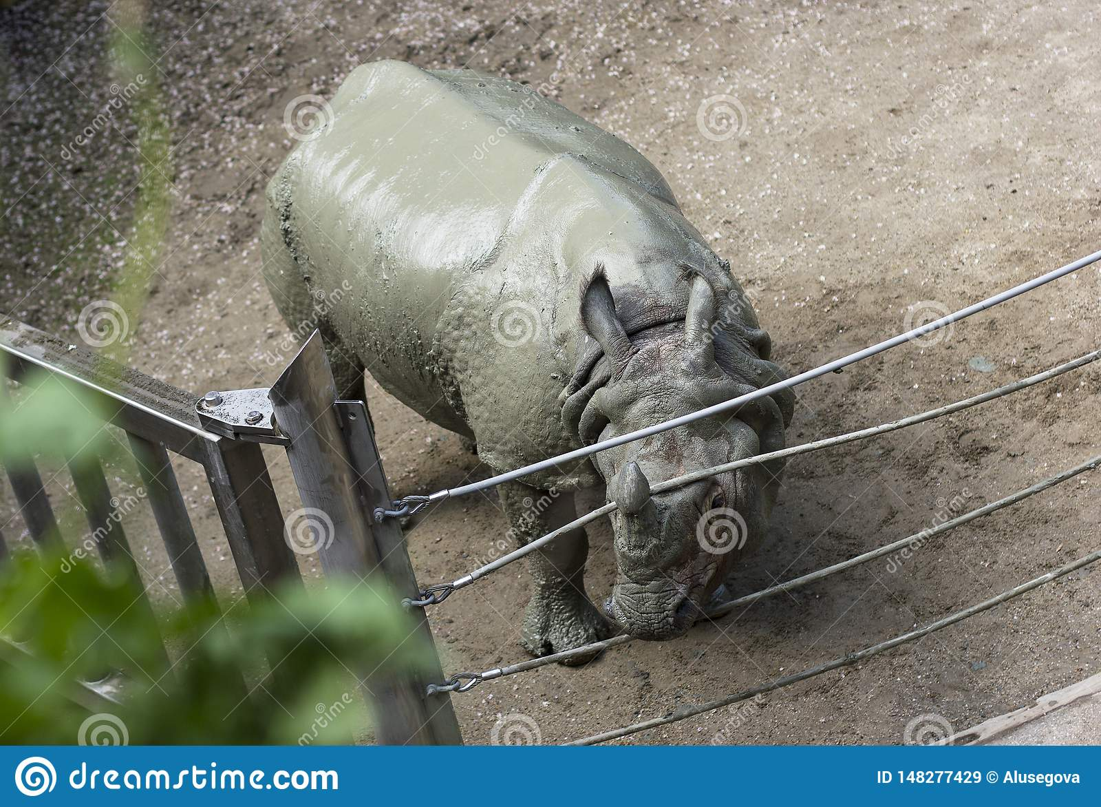 Nashorn am Zoo