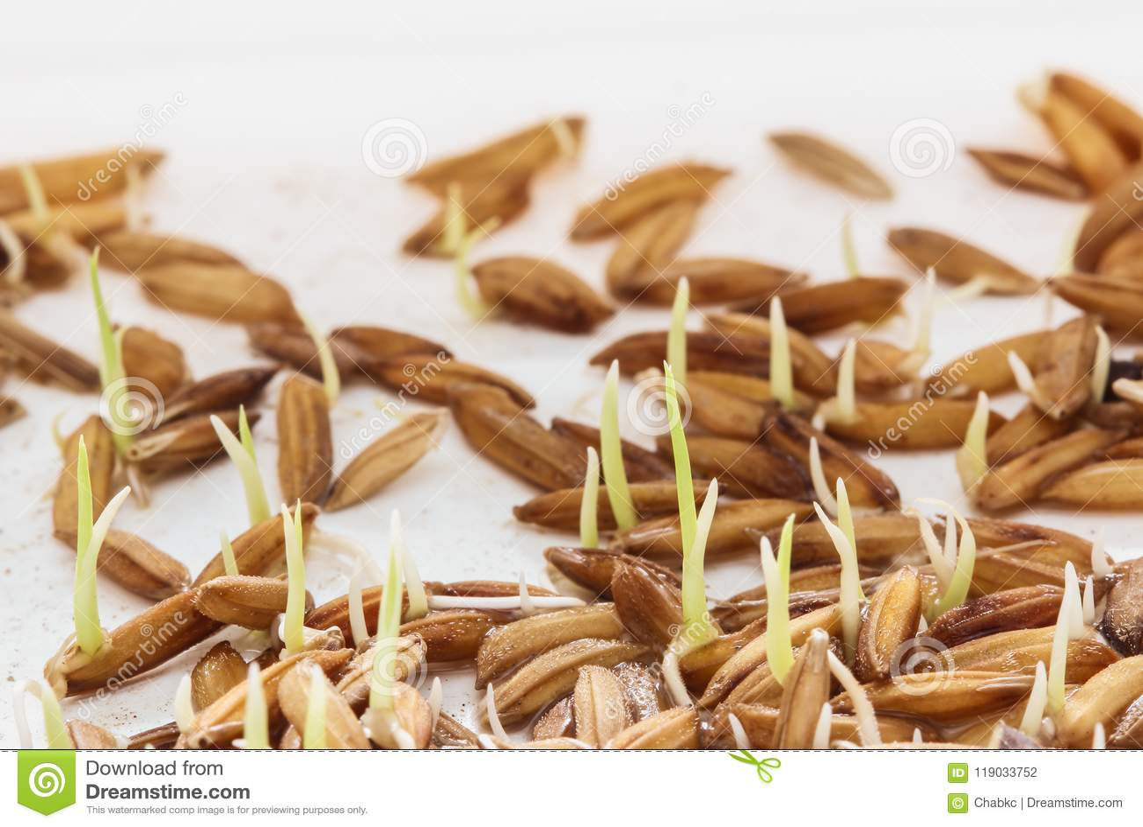 Nasieniodajny kiełkowanie, Sadzonkowa Ryżowa roślina