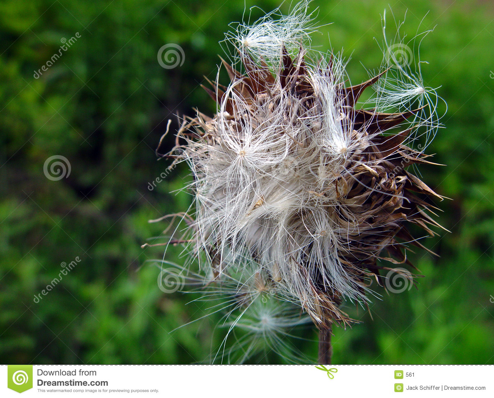 Nasiona świętego oset mary