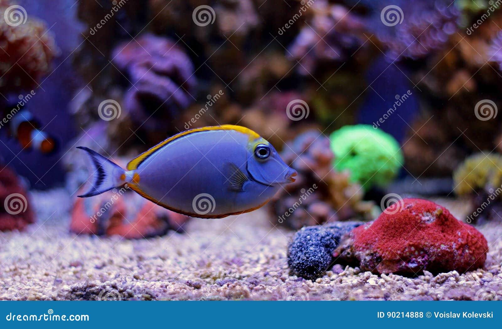 Naso elegance tang stock photo image 90214888 for Aquarium elegance