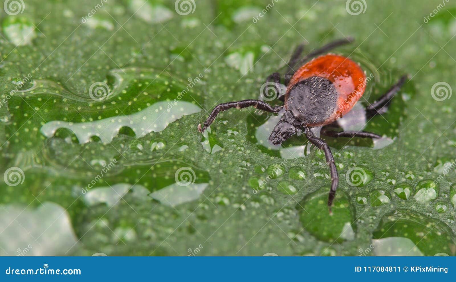 Nasse Rotwildzecke auf grünem Blatt mit Wasser fällt Ixodes Ricinus