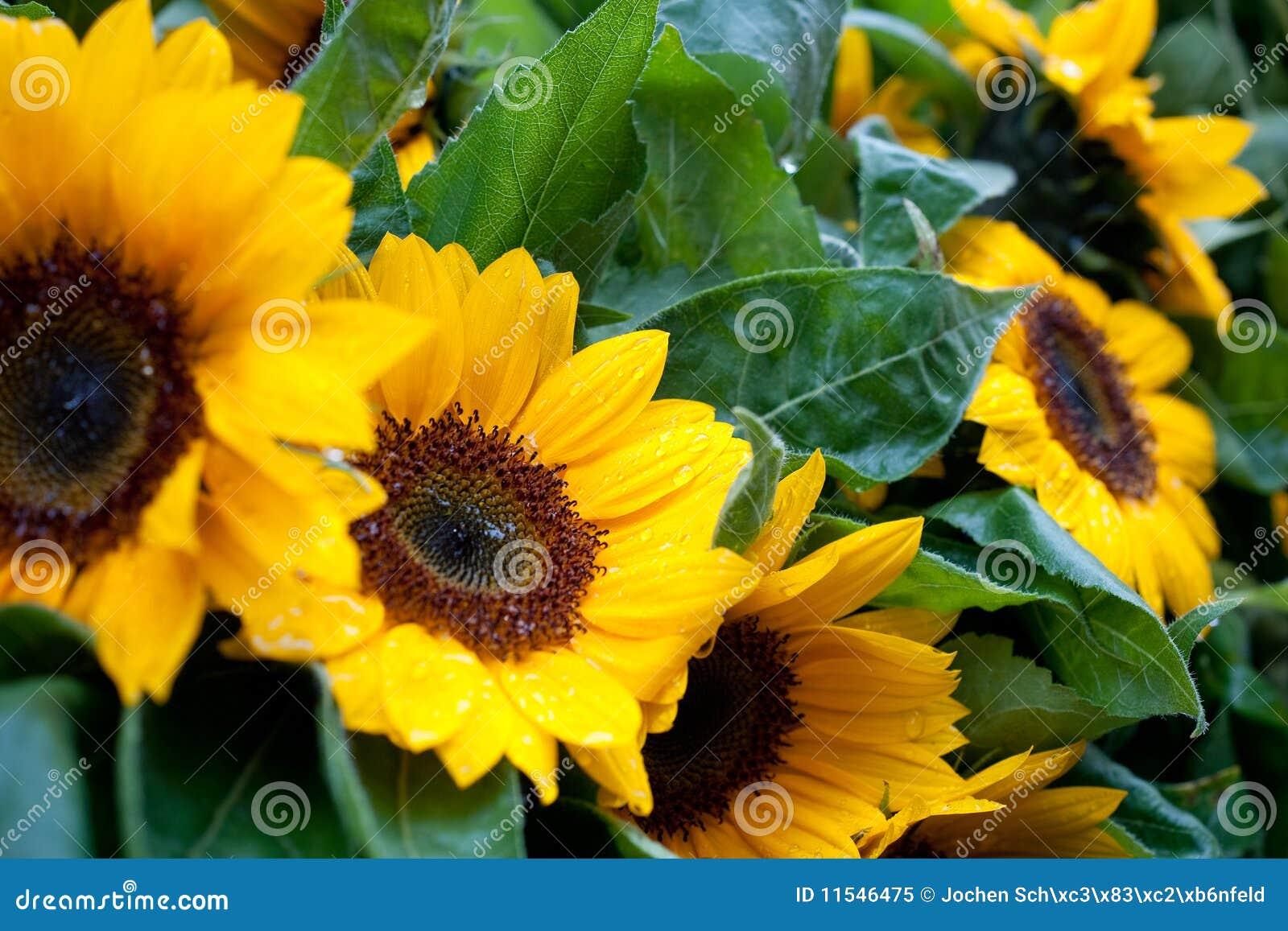 Nasse Sonnenblumen