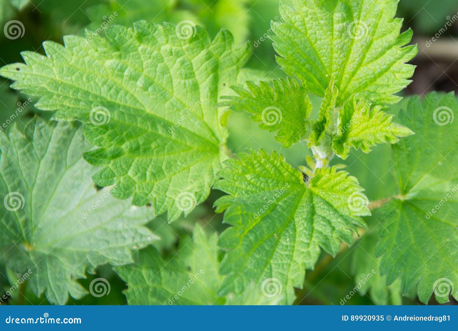 Einzigartig Grüne Pflanzen Beste Wahl Pattern Natürliche Medizinische Grüne Wild Wachsende Pflanze