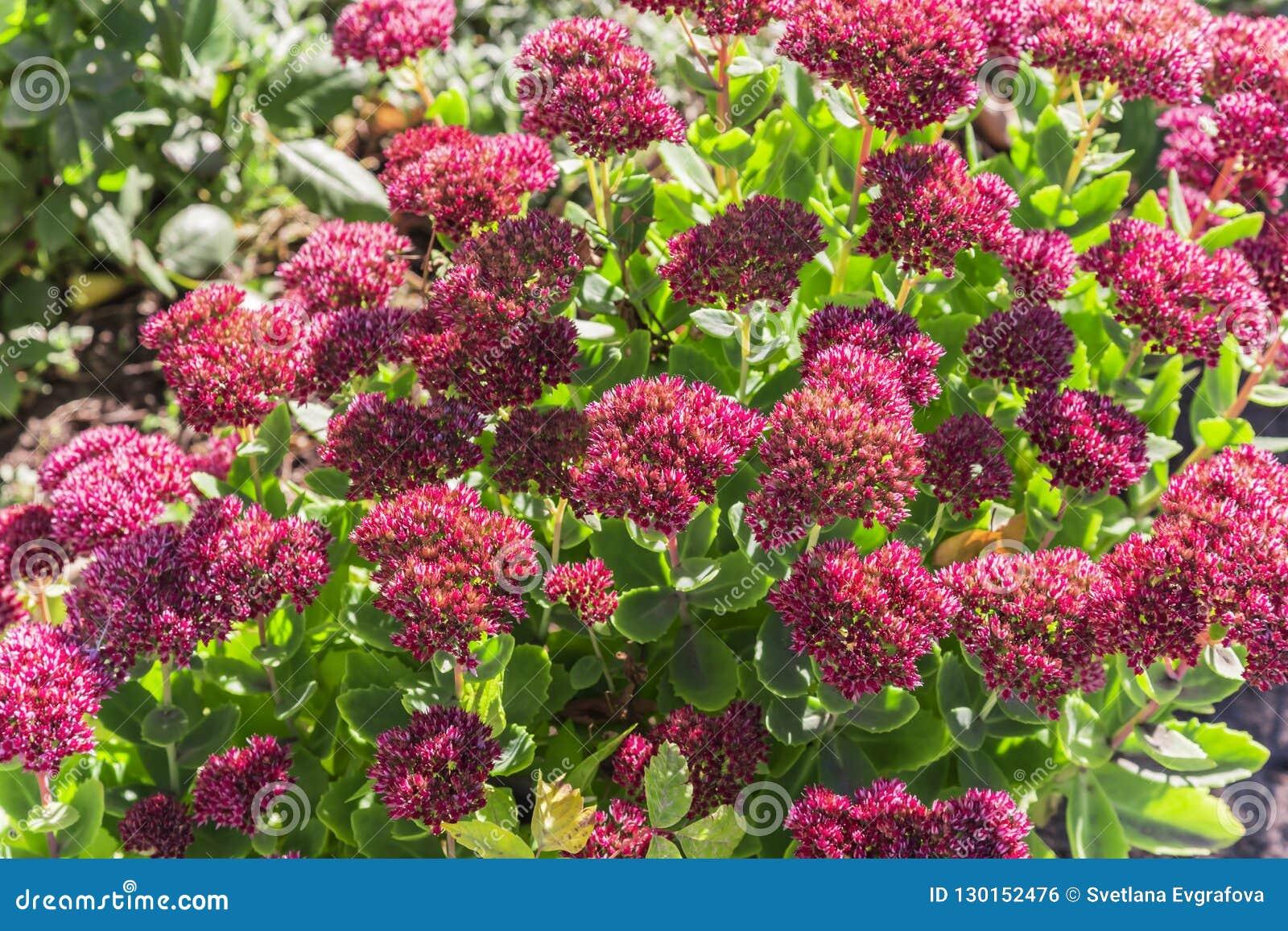 Natürlicher mit Blumenhintergrund des hellen Herbstes mit blühendem rosa flowe