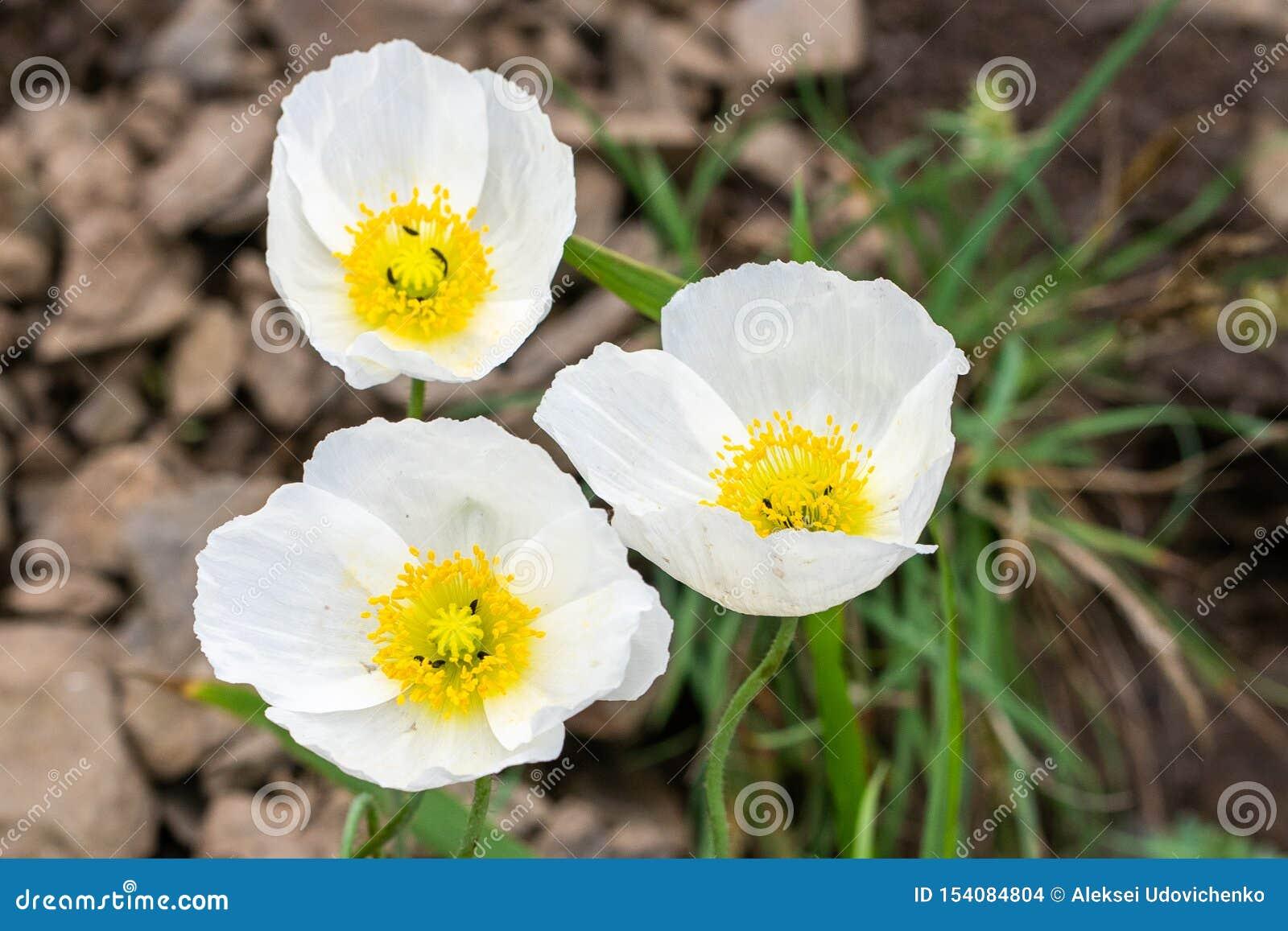 Natürliches backgound Foto von Blumen der weißen Mohnblume im Abschluss oben