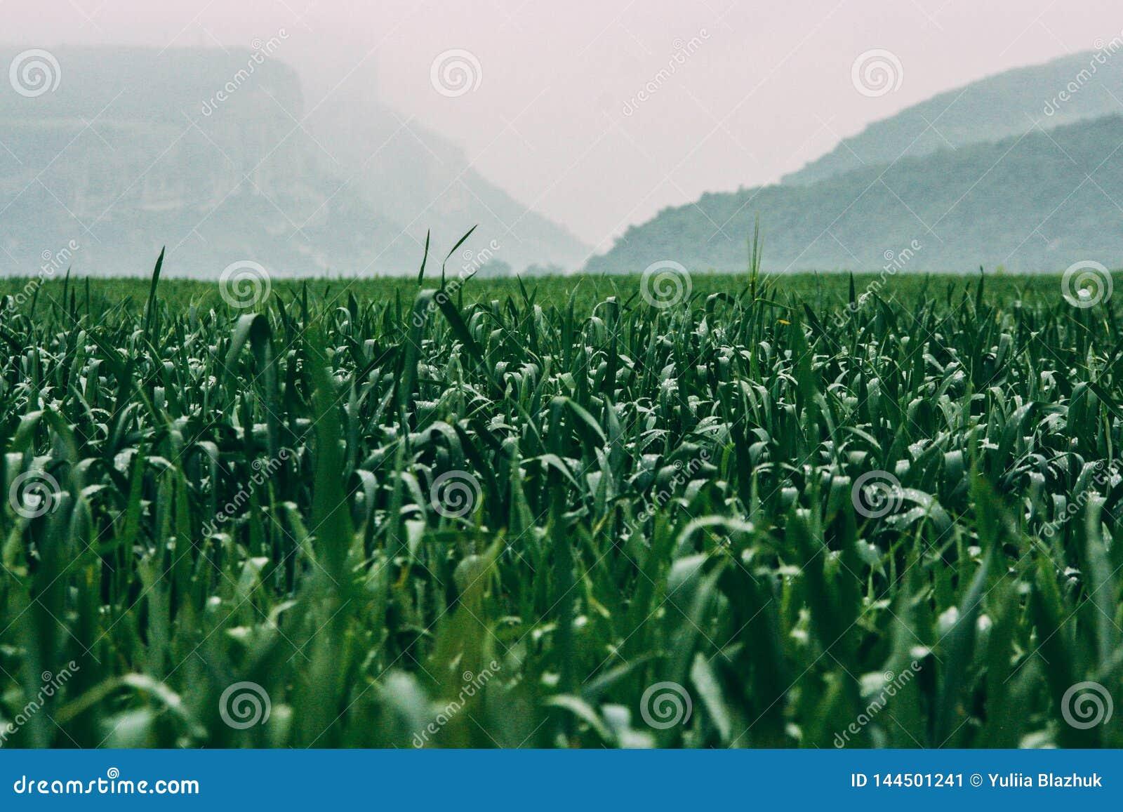 Nat groen gras bij mistige regenachtige dag Dromerige bergen op achtergrond