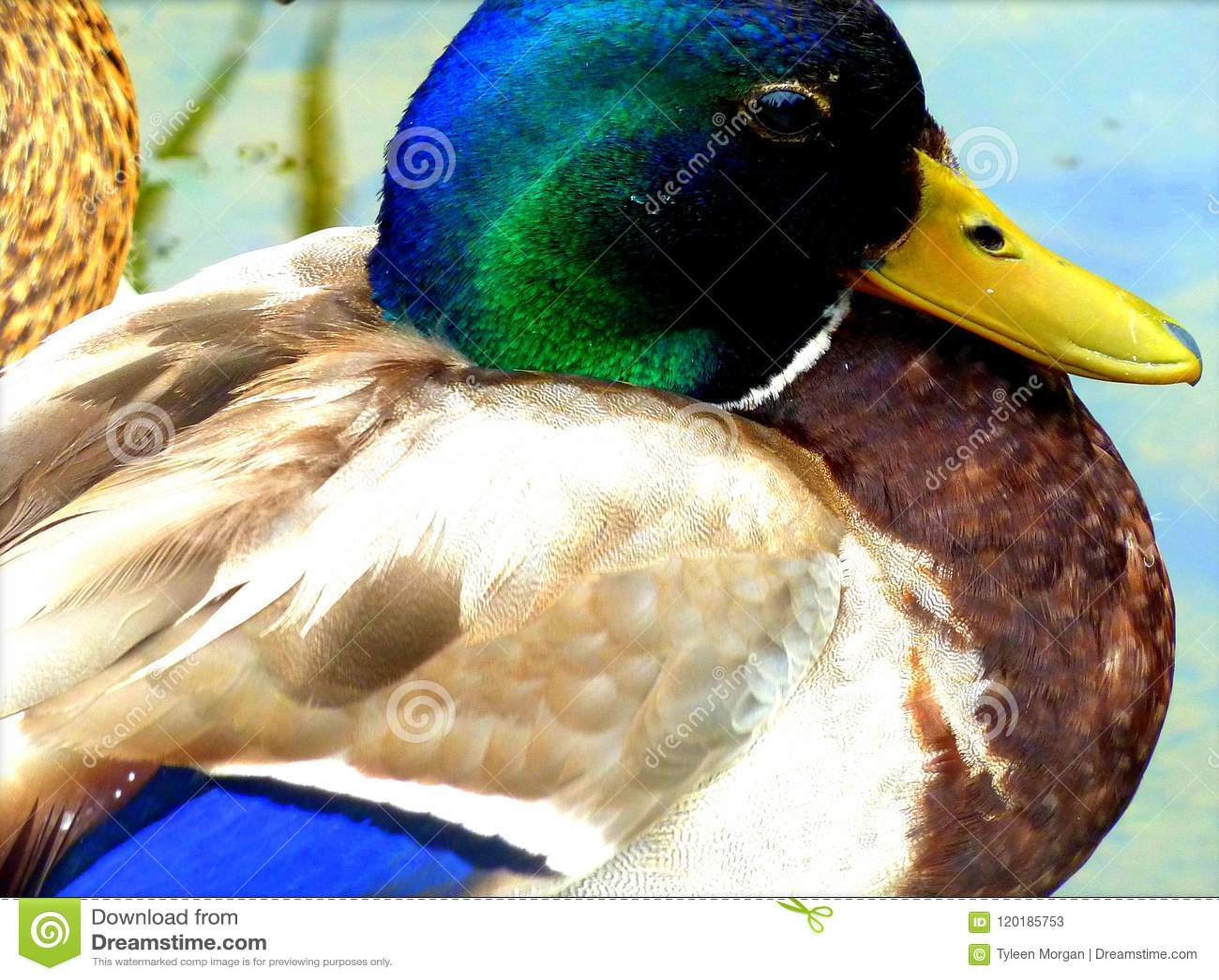 Natação bonita do pato na lagoa