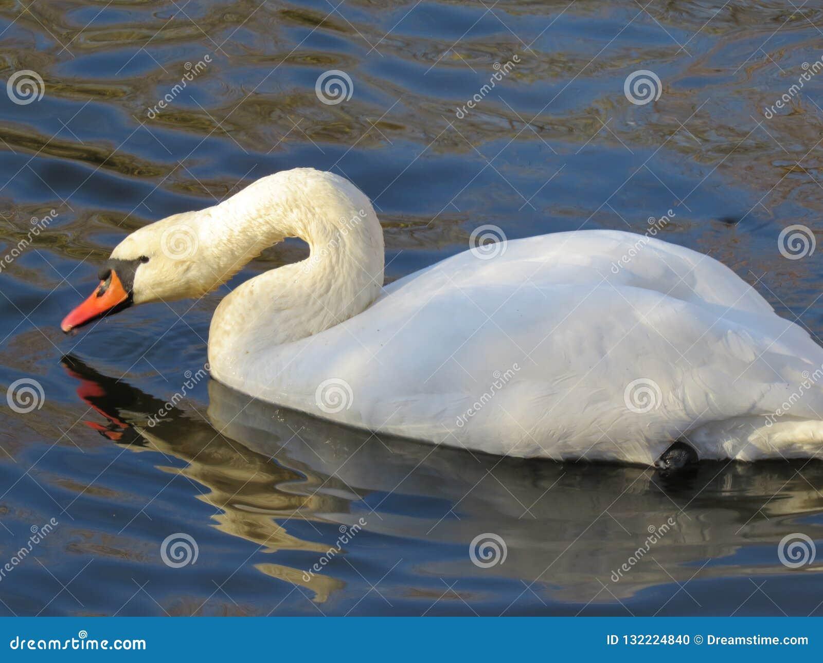 Natação branca da cisne no close-up do rio