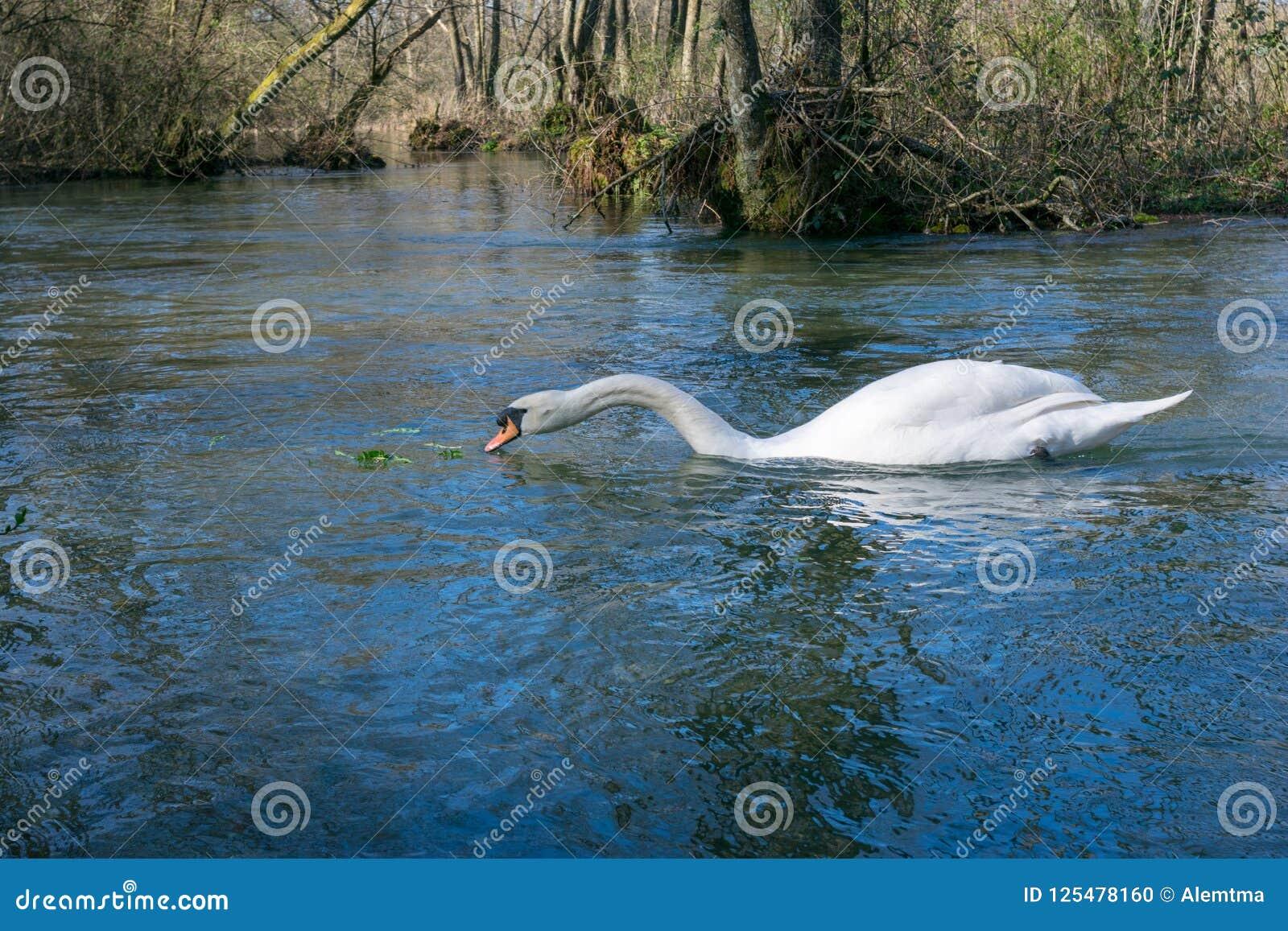 Natação branca da cisne no lago no parque Foto de Stock