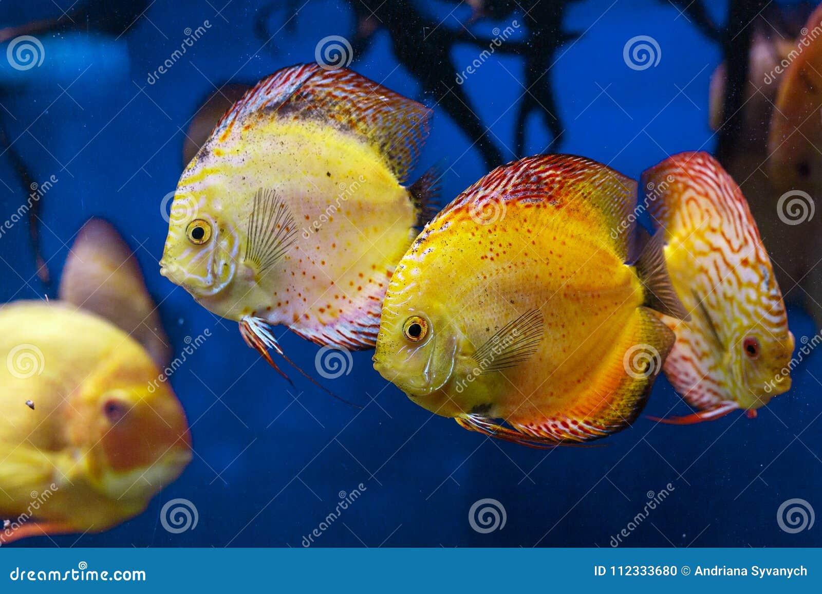Natação colorida dos peixes do disco no aquário