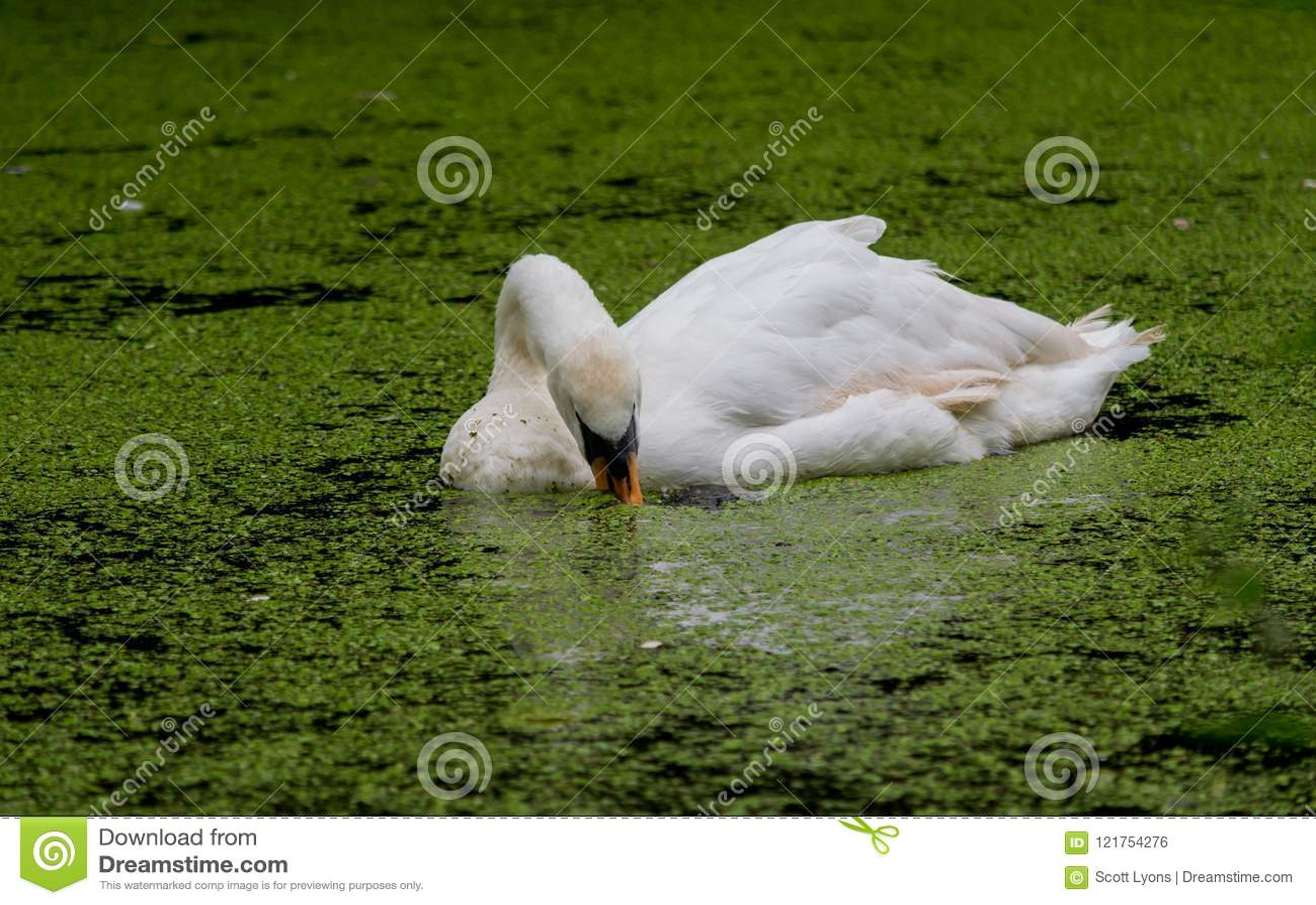 Natação da cisne através das algas ao comer