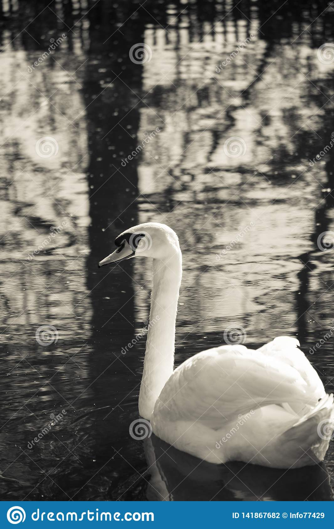 Natação da cisne em um lago com muitas reflexões