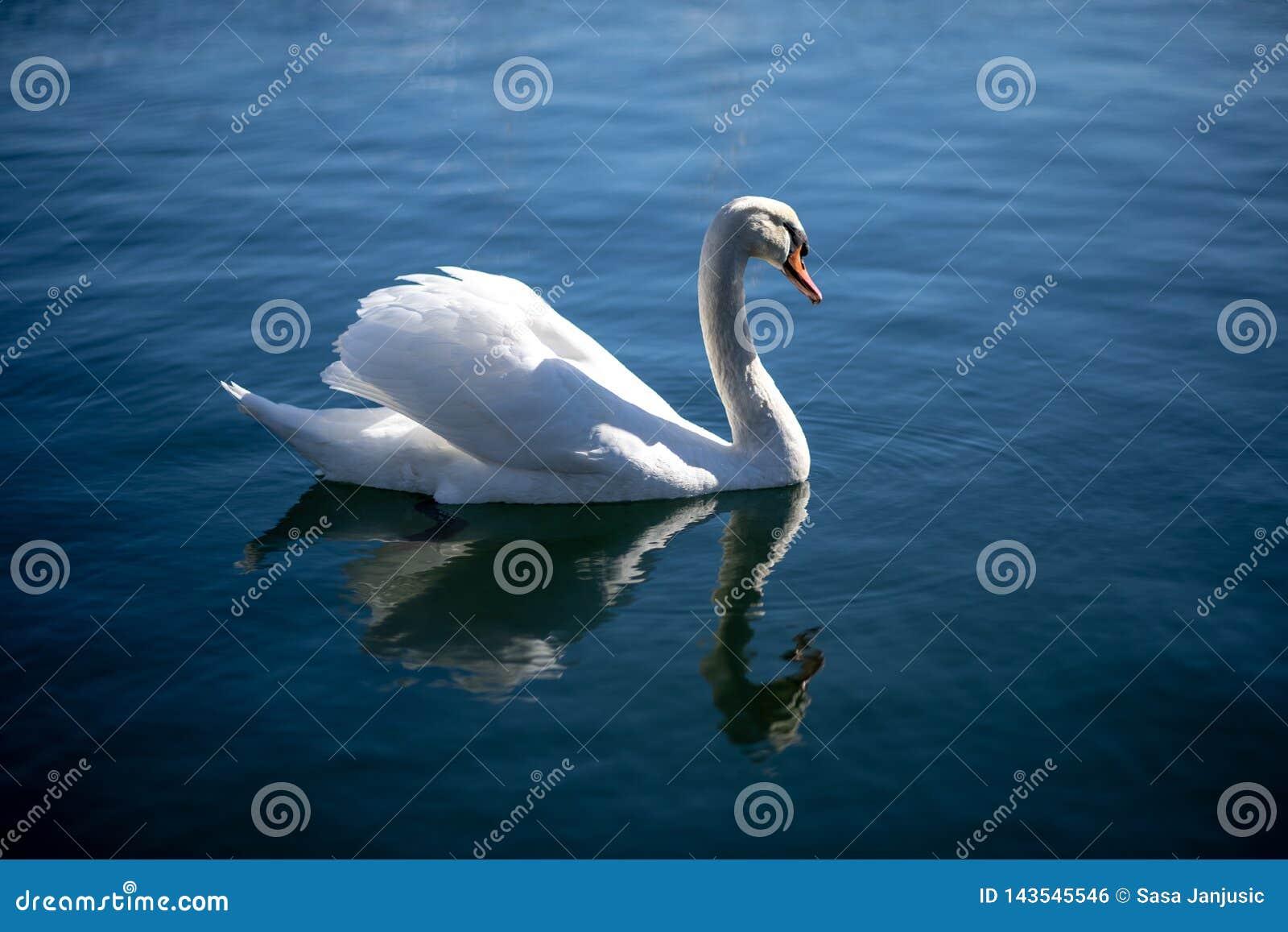 Natação da cisne no oceano