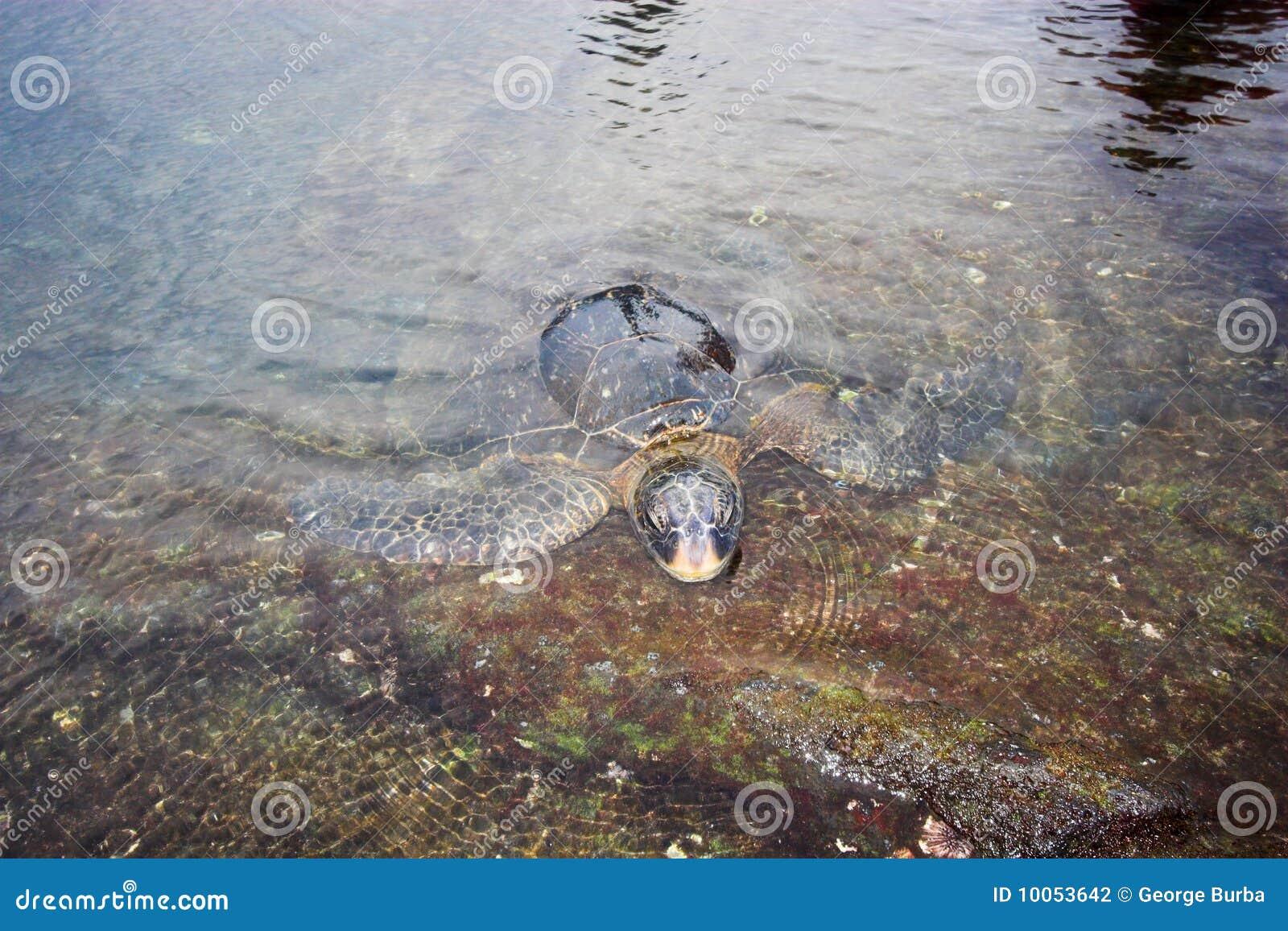 Natação da tartaruga