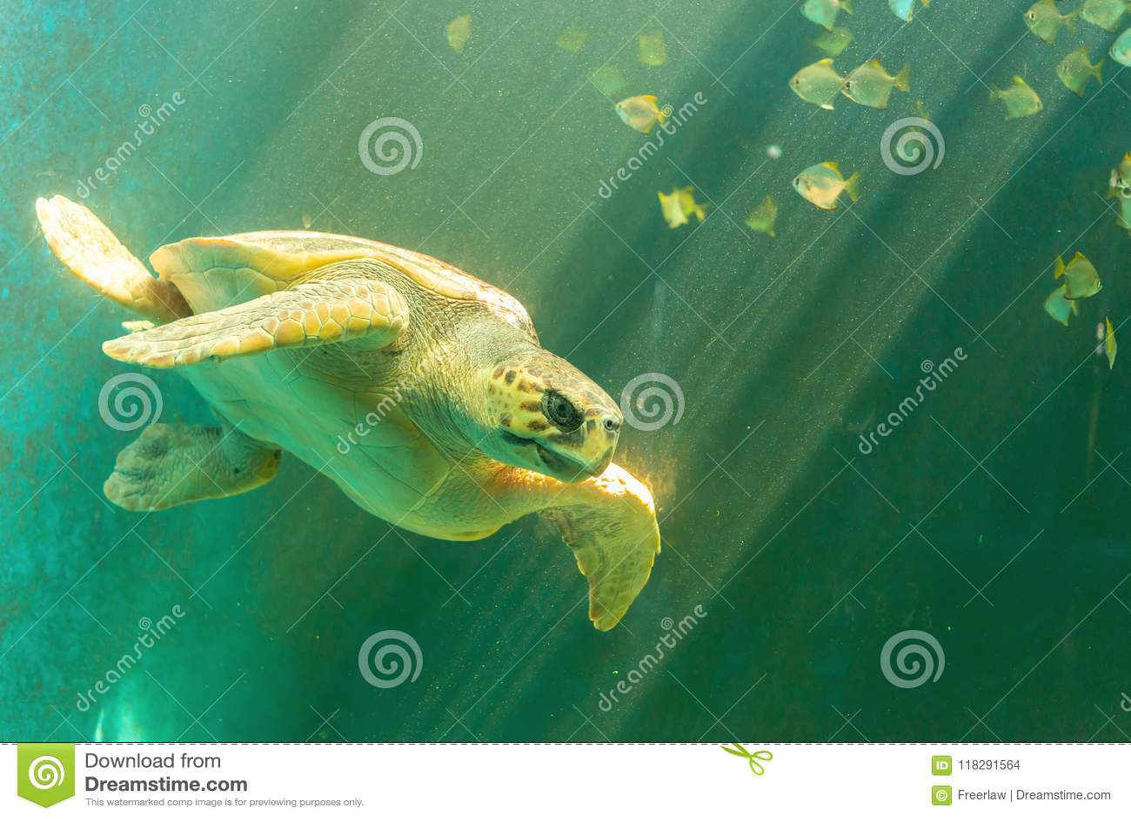 Natação da tartaruga de mar
