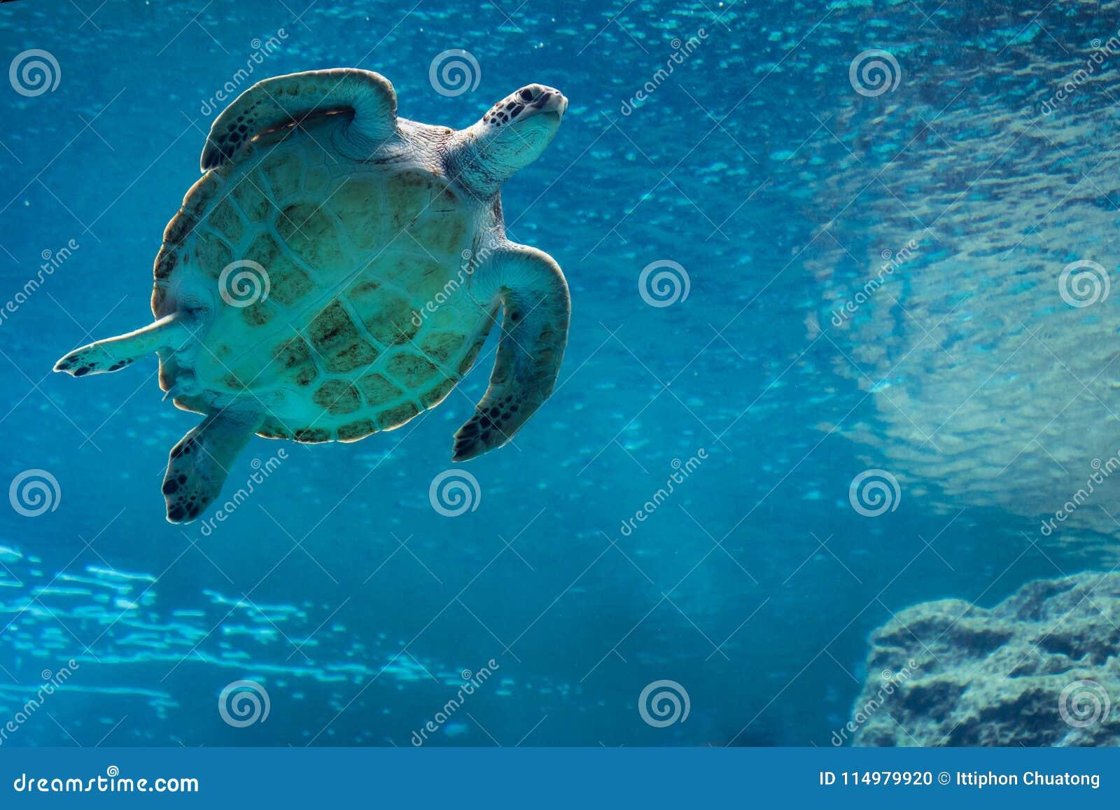 Natação da tartaruga de mar no aquário