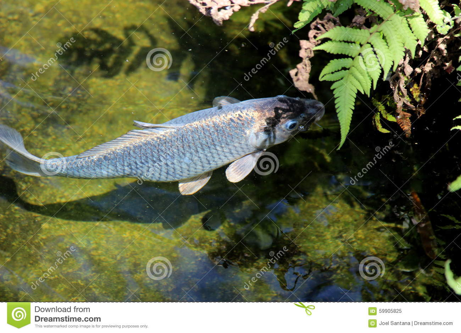 Natação de carpio do Cyprinus no lago