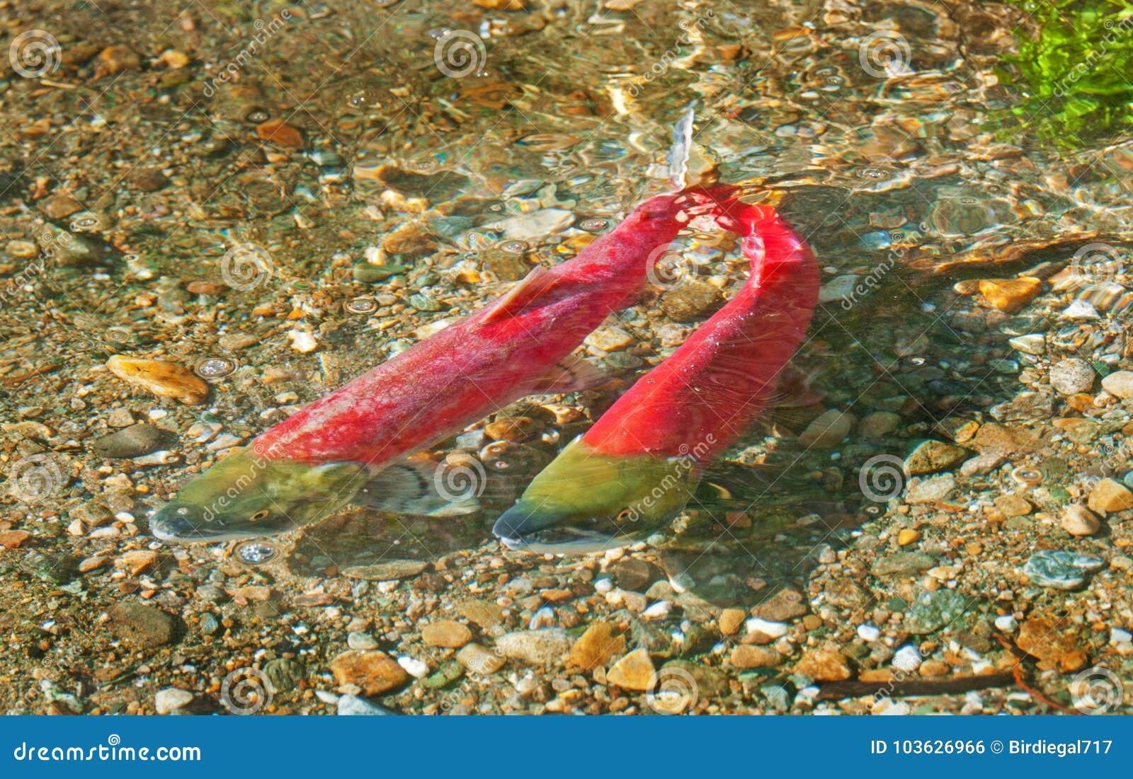 Natação desovando colorida dos salmões de Sockeye no rio, Columbia Britânica, Canadá